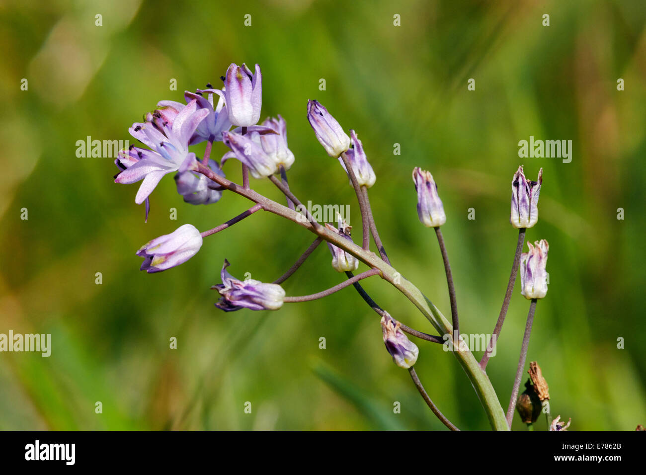 Autumn Squill Flowering In Home Park Hampton Court Palace London England