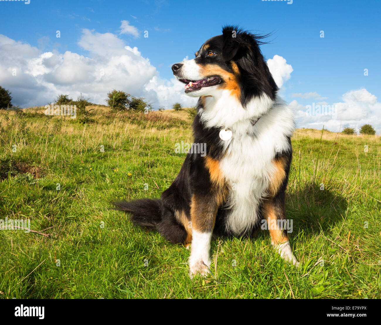 Adult Dogs For Sale Inwales