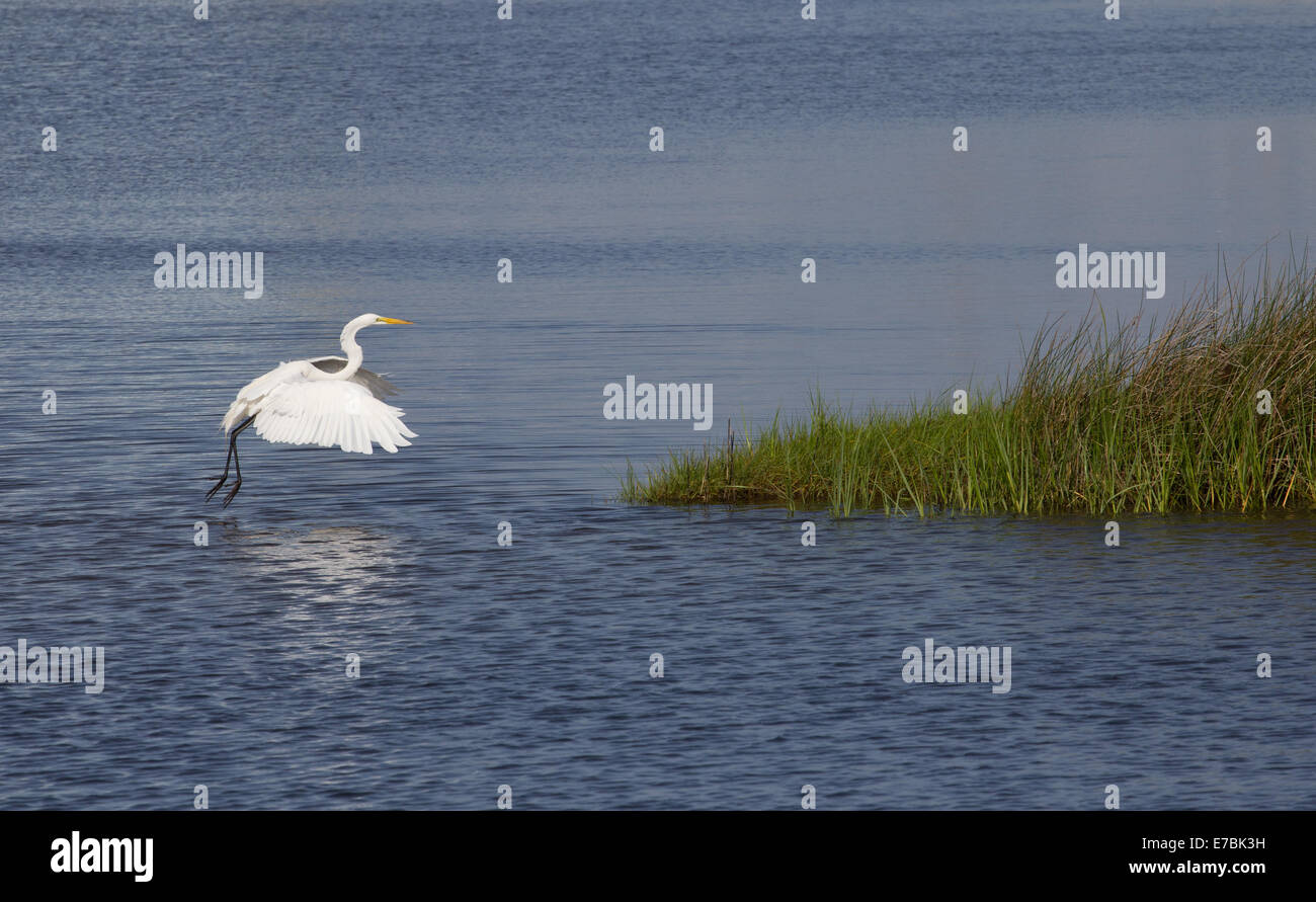 White Egret Landing Stock Photo Royalty Free Image