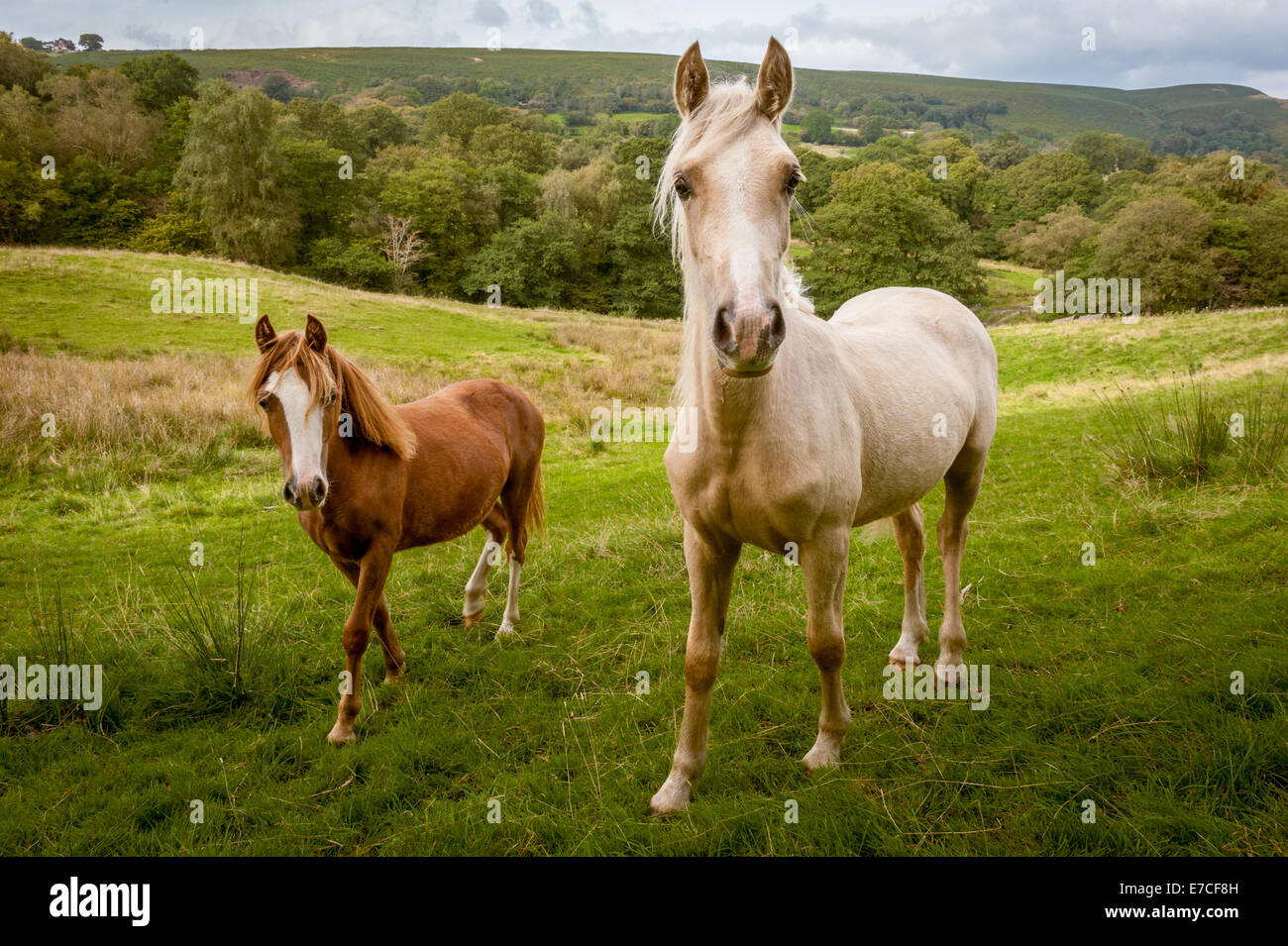Two_ponies_in_a_South_Wales_valley_near_