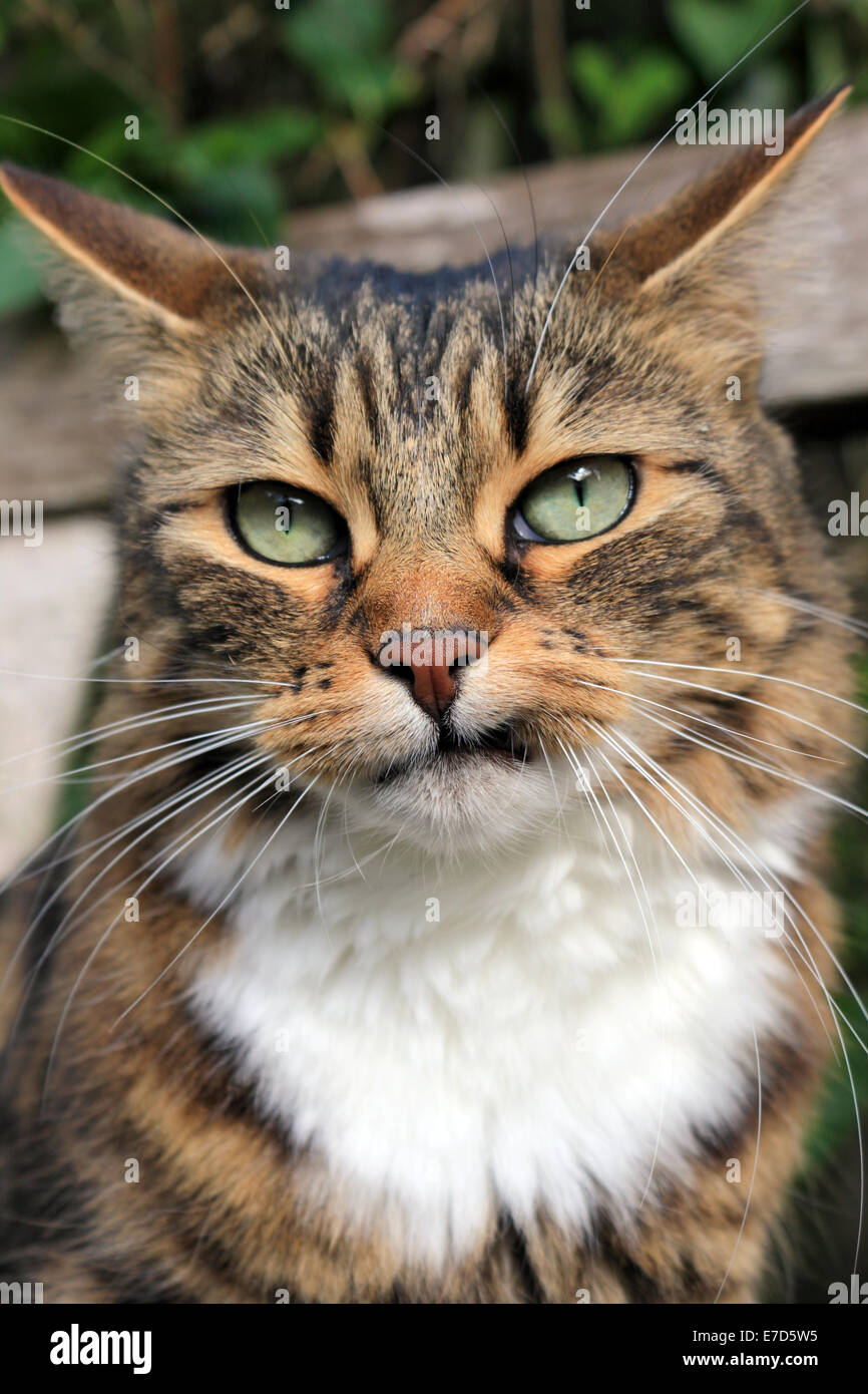 Cat Pulling Wagon : Tabby cat pulling funny face stock photo royalty free