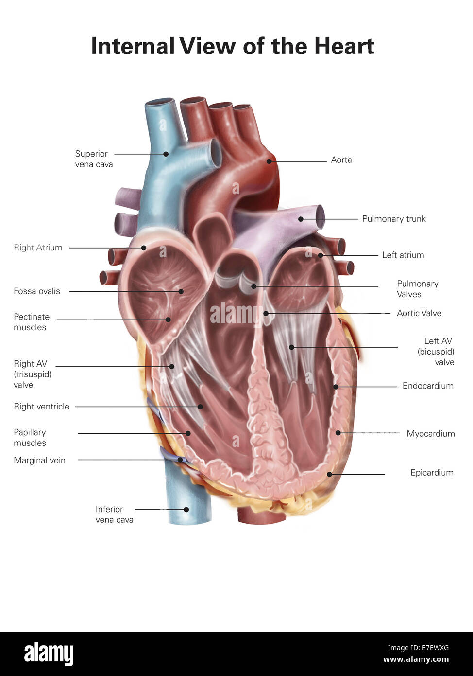 Internal view    of the human       heart    Stock Photo  Royalty Free Image  73471736  Alamy