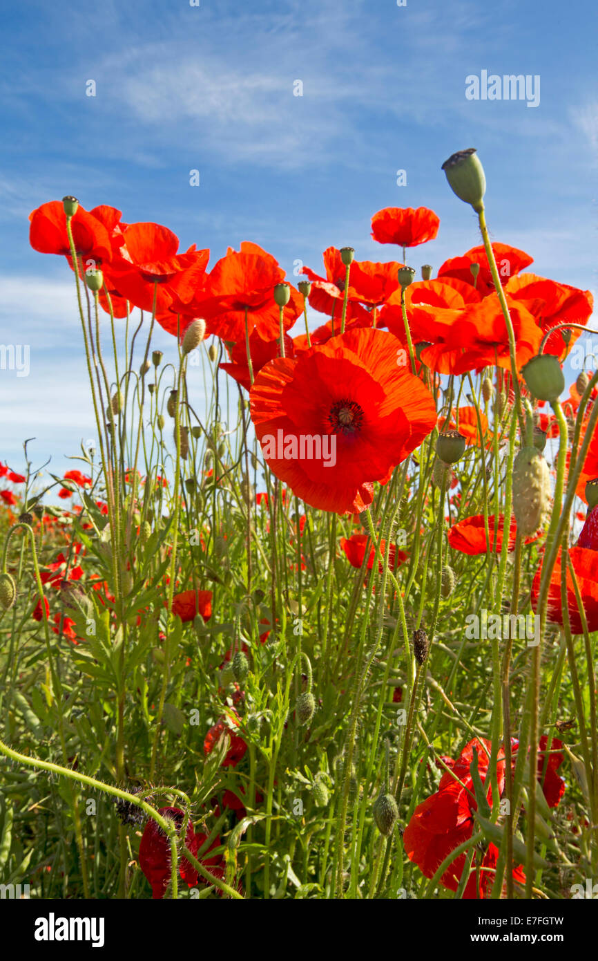 bright red flowers field - photo #7