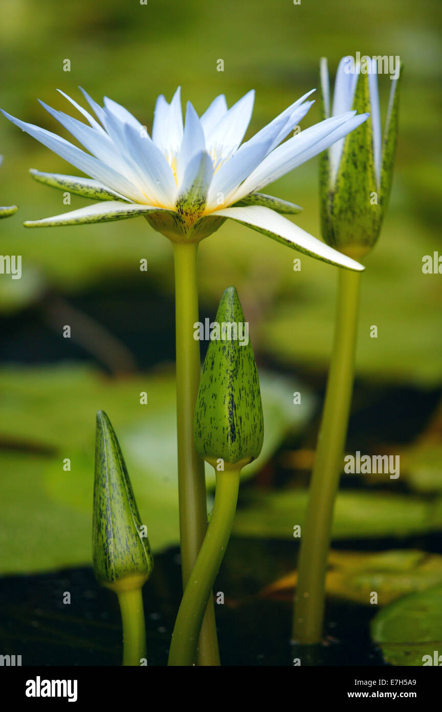 Pale blue lily flowers at different stage of flowering in a pond pale blue lily flowers at different stage of flowering in a pond izmirmasajfo Image collections