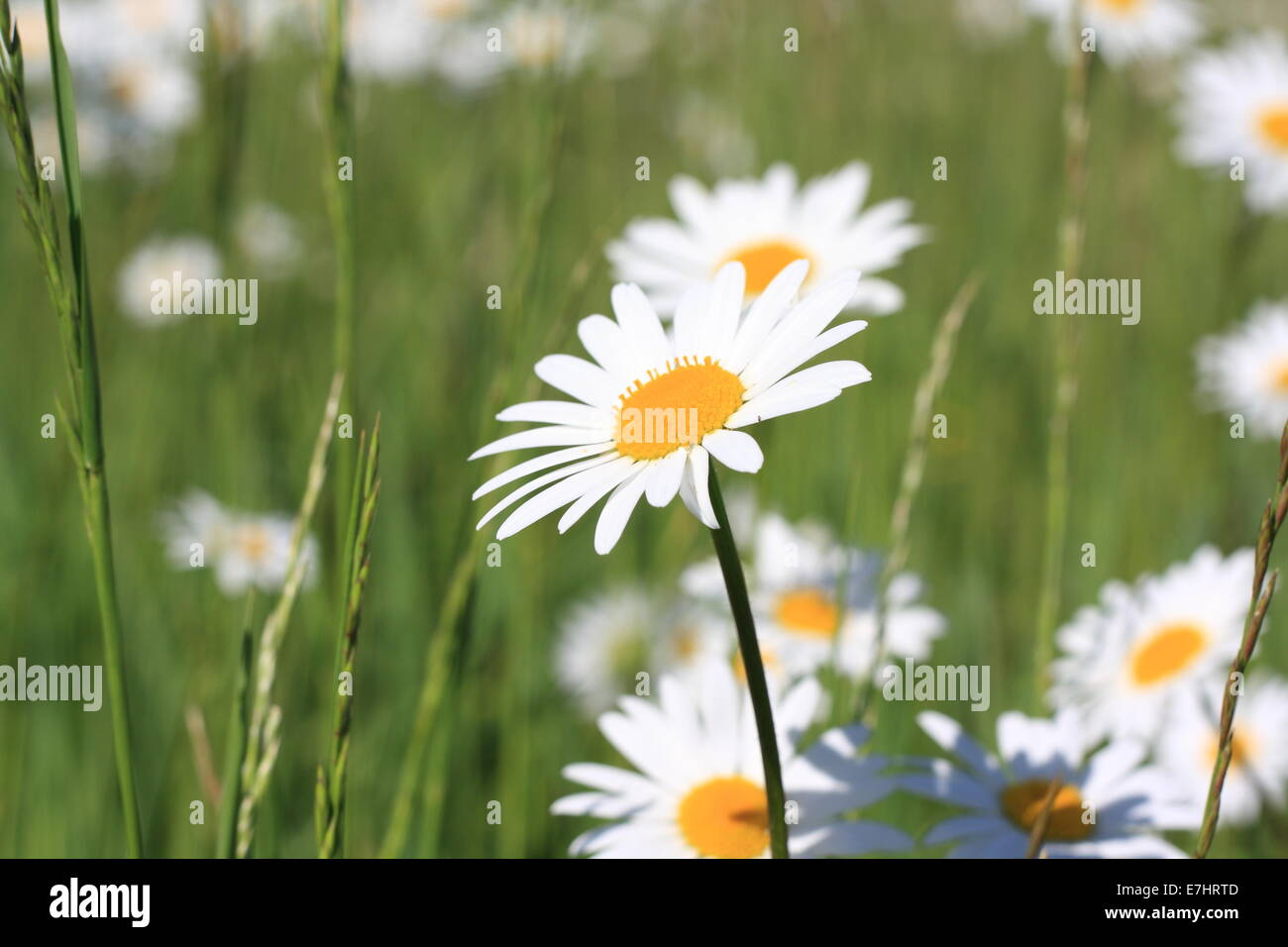 Beautiful daisy flowers on a green meadow stock photo royalty free beautiful daisy flowers on a green meadow izmirmasajfo Choice Image