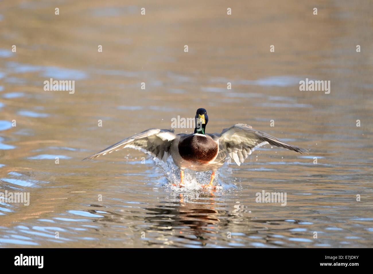 Duck, Mallard, Wild Duck, Diving Duck, Ducks, Water Birds