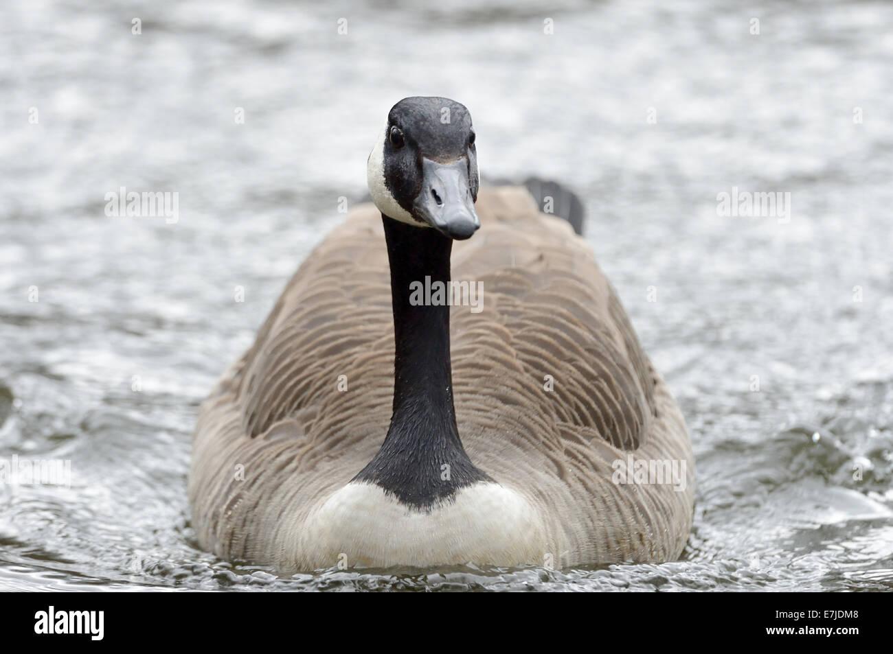 canada goose branta price