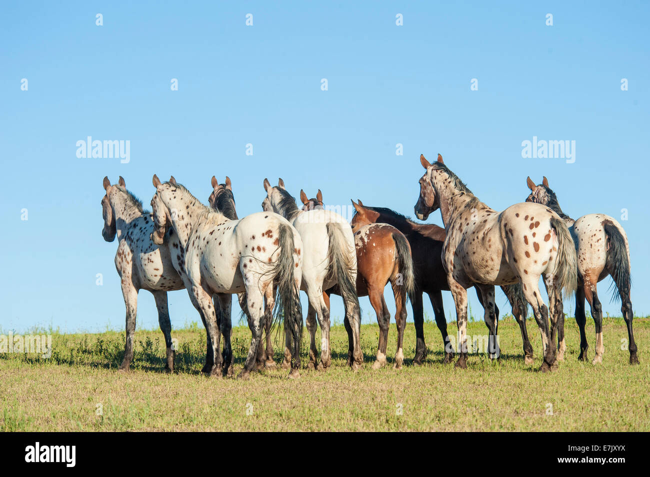 tiger horse herd tiger horses are gaited spotted trail horses
