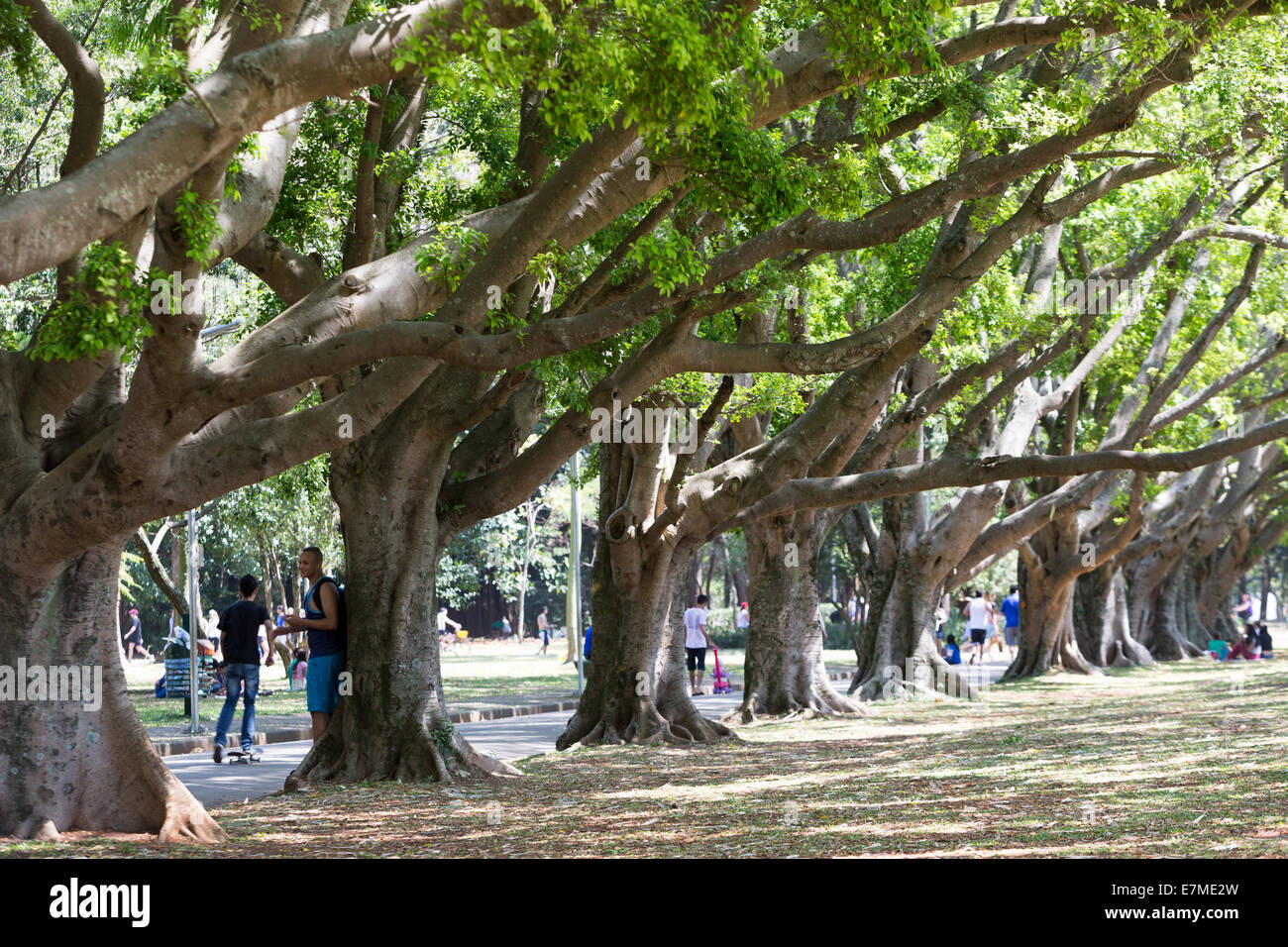 ficus trees forest ibirapuera park sao paulo brazil stock image - Ficus Trees