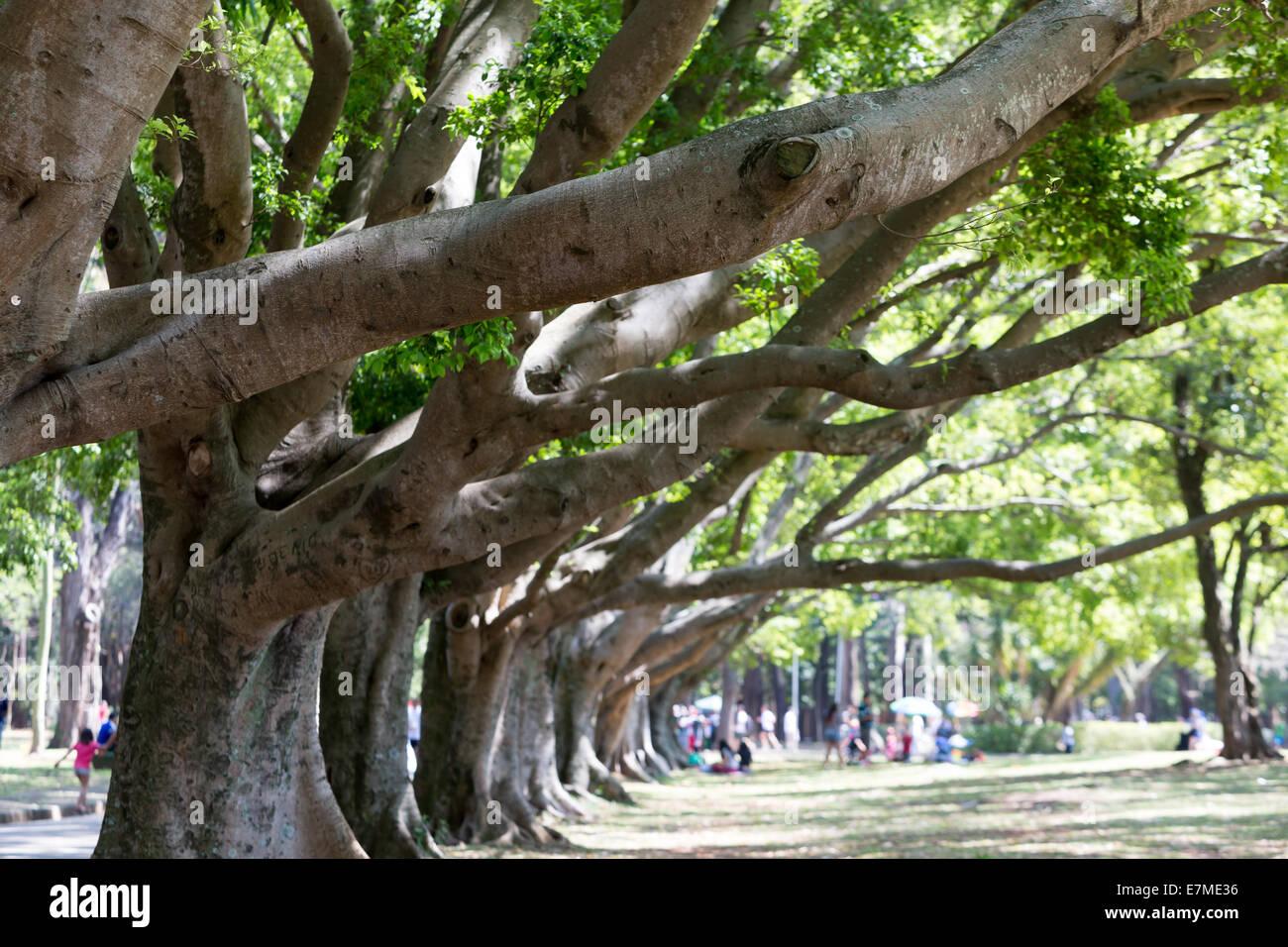 ficus trees forest ibirapuera park sao paulo brazil - Ficus Trees