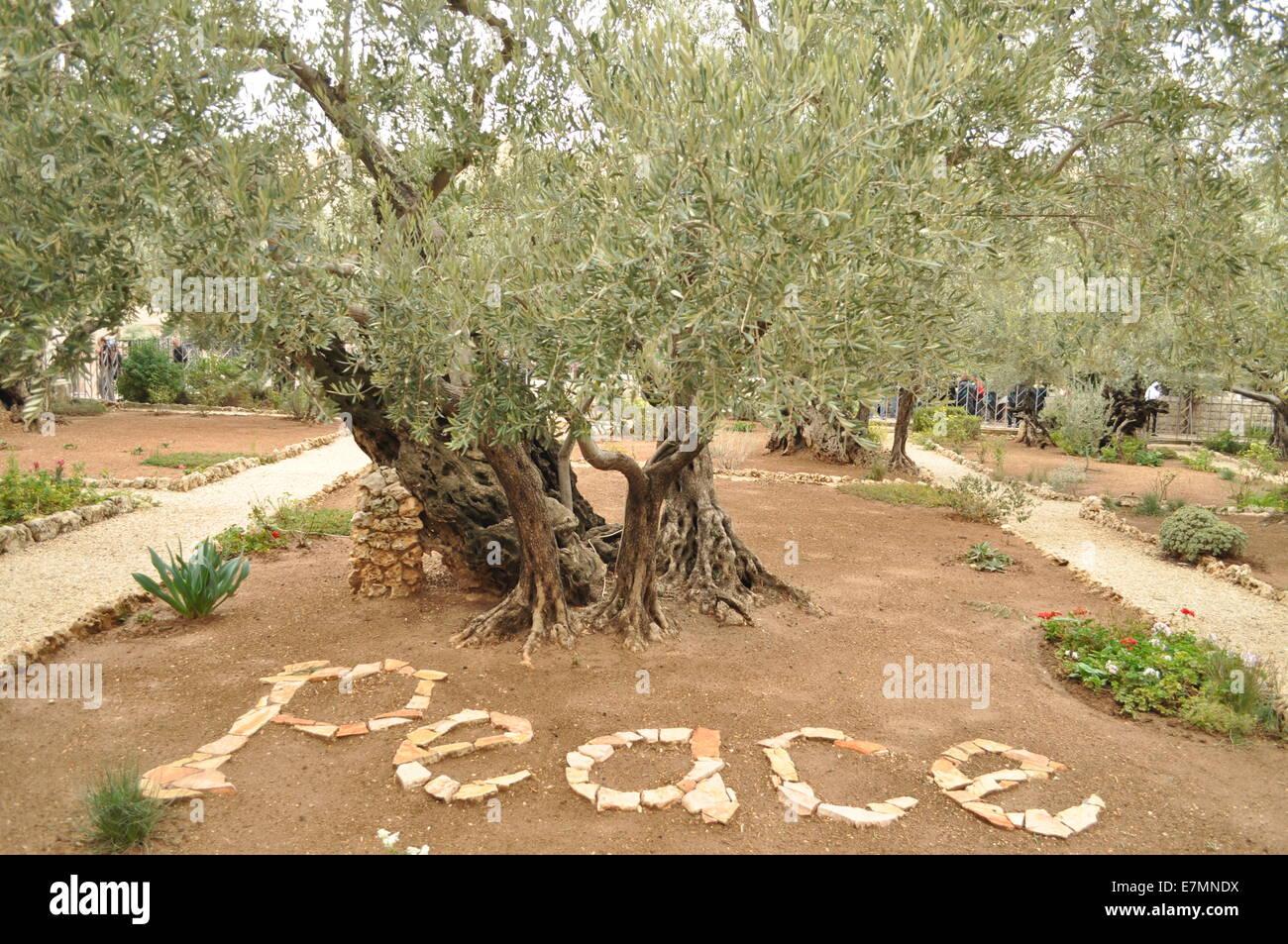 The Garden Of Gethsemane Peace Olive Tree Jerusalem Stock Photo Royalty Free Image 73599958