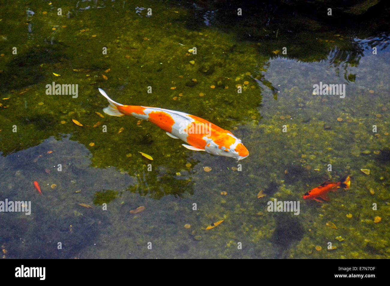 Fish in kyoto garden pond a japanese garden in holland for Japanese garden fish