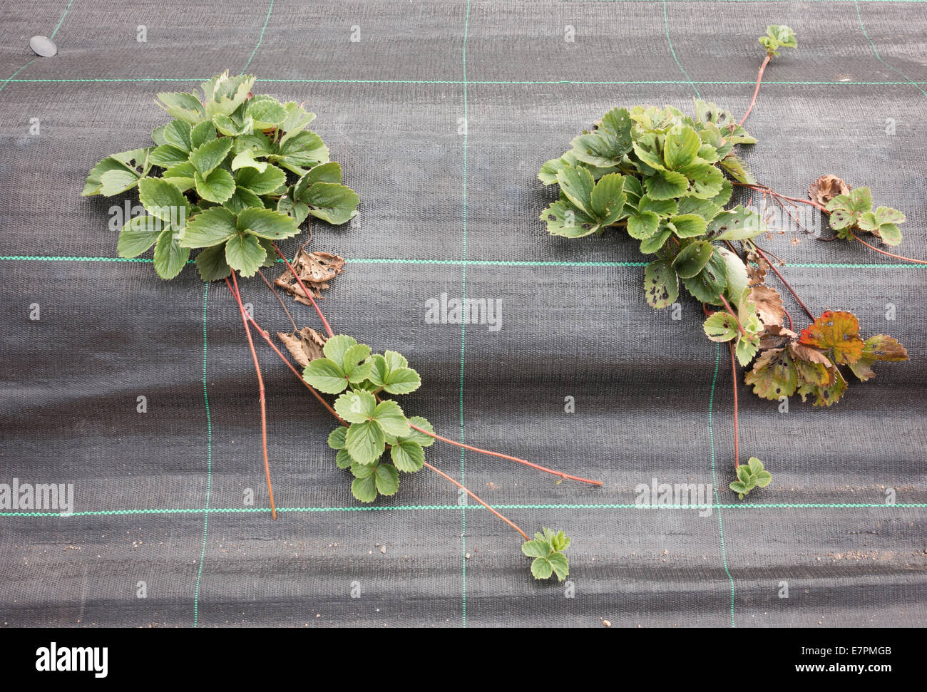 Kitchen Garden Plants Young Strawberry Plants Growing Through A Permeable Membrane To