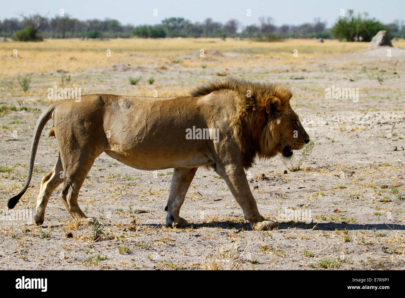 The regal lion, Africa's top & most feared apex predator ...