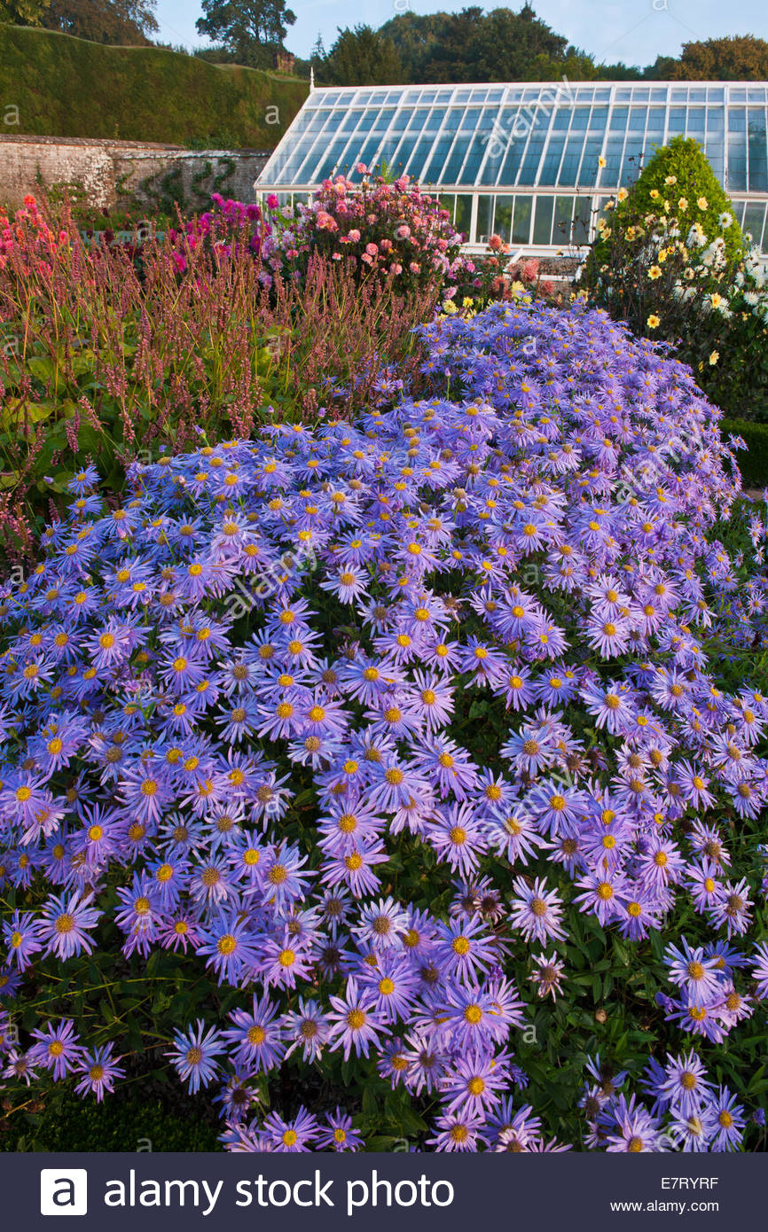 Aster X Frikartii Monch Cut Flower Garden September Blooms