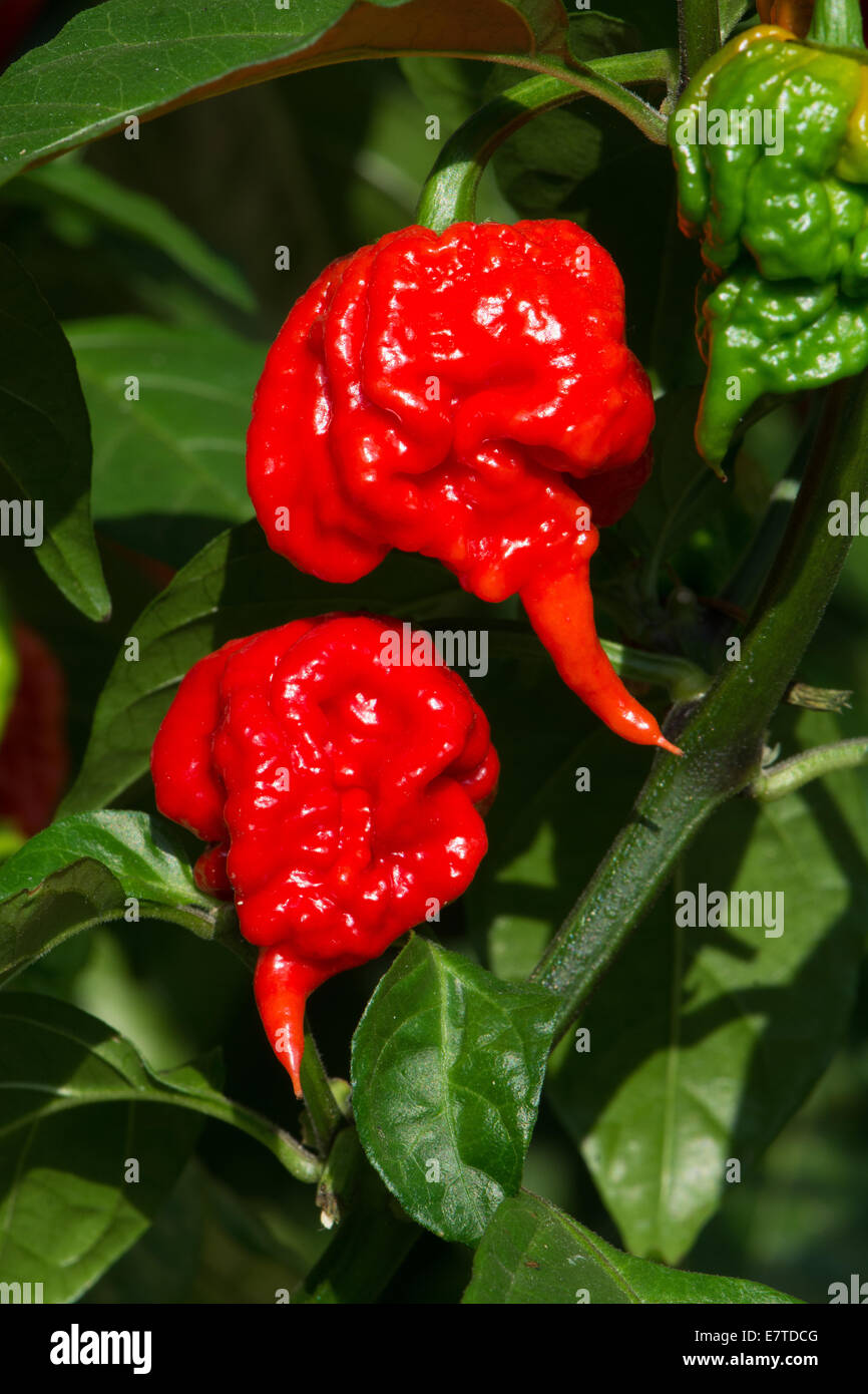 Carolina Reaper Chillies Recognised By The Guinness World