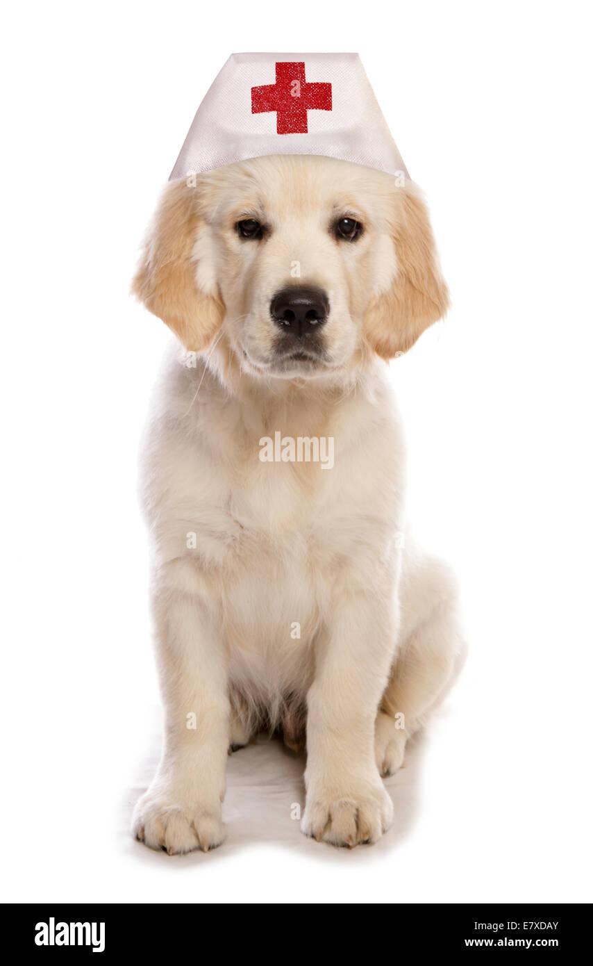 Golden Retriever Dog Wearing A Nurse Hat Cutout Stock