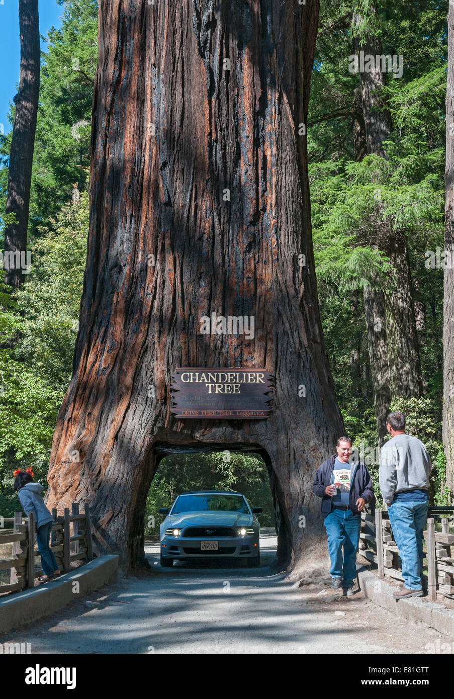 California leggett chandelier tree drive through tree giant california leggett chandelier tree drive through tree giant redwood tree 315 feet tall arubaitofo Images