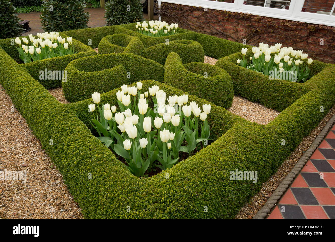 Knot garden with box hedges and white tulips in a private for Garden hedge designs