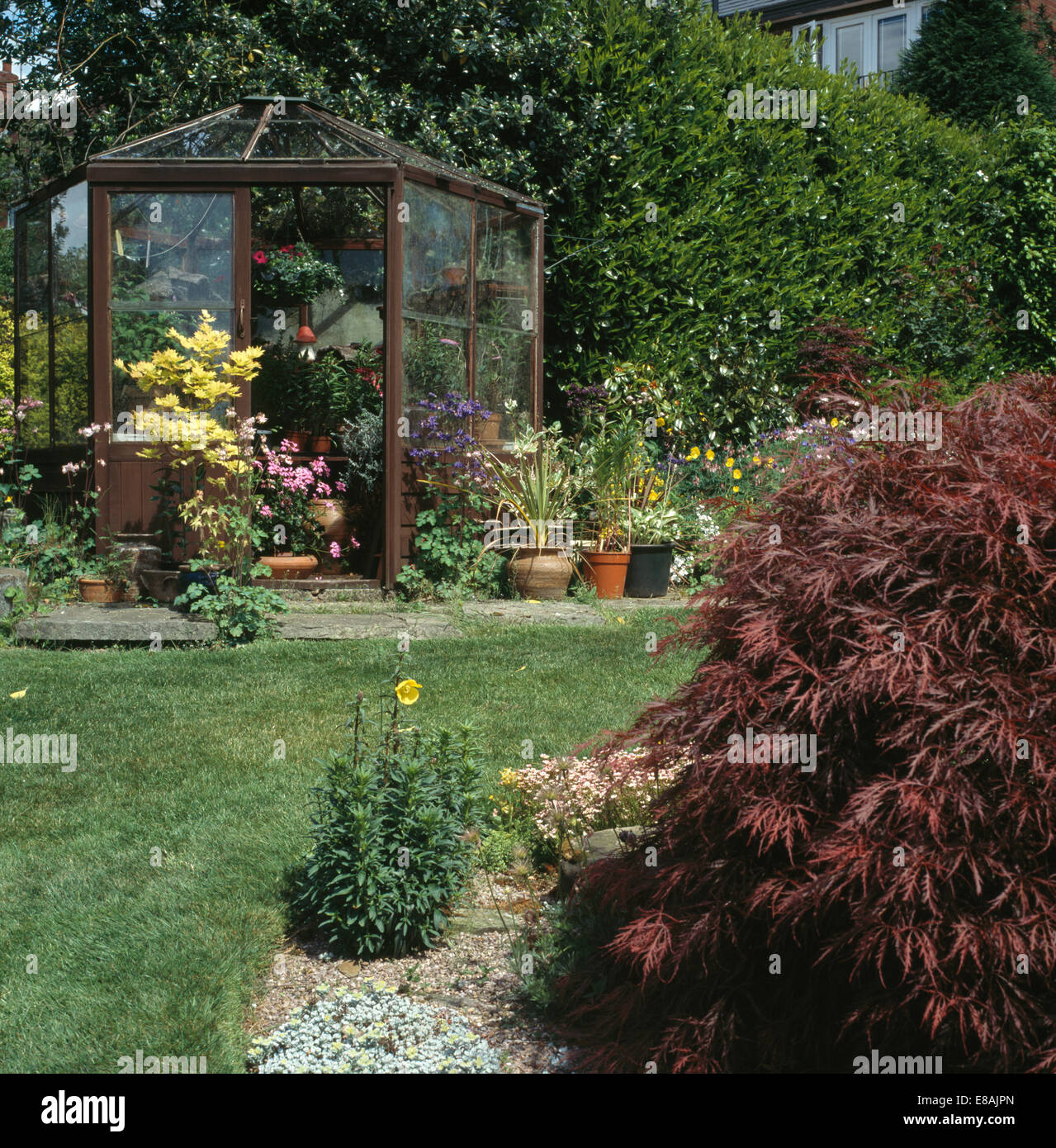 small red acer in garden with greenhouse stock photo royalty free