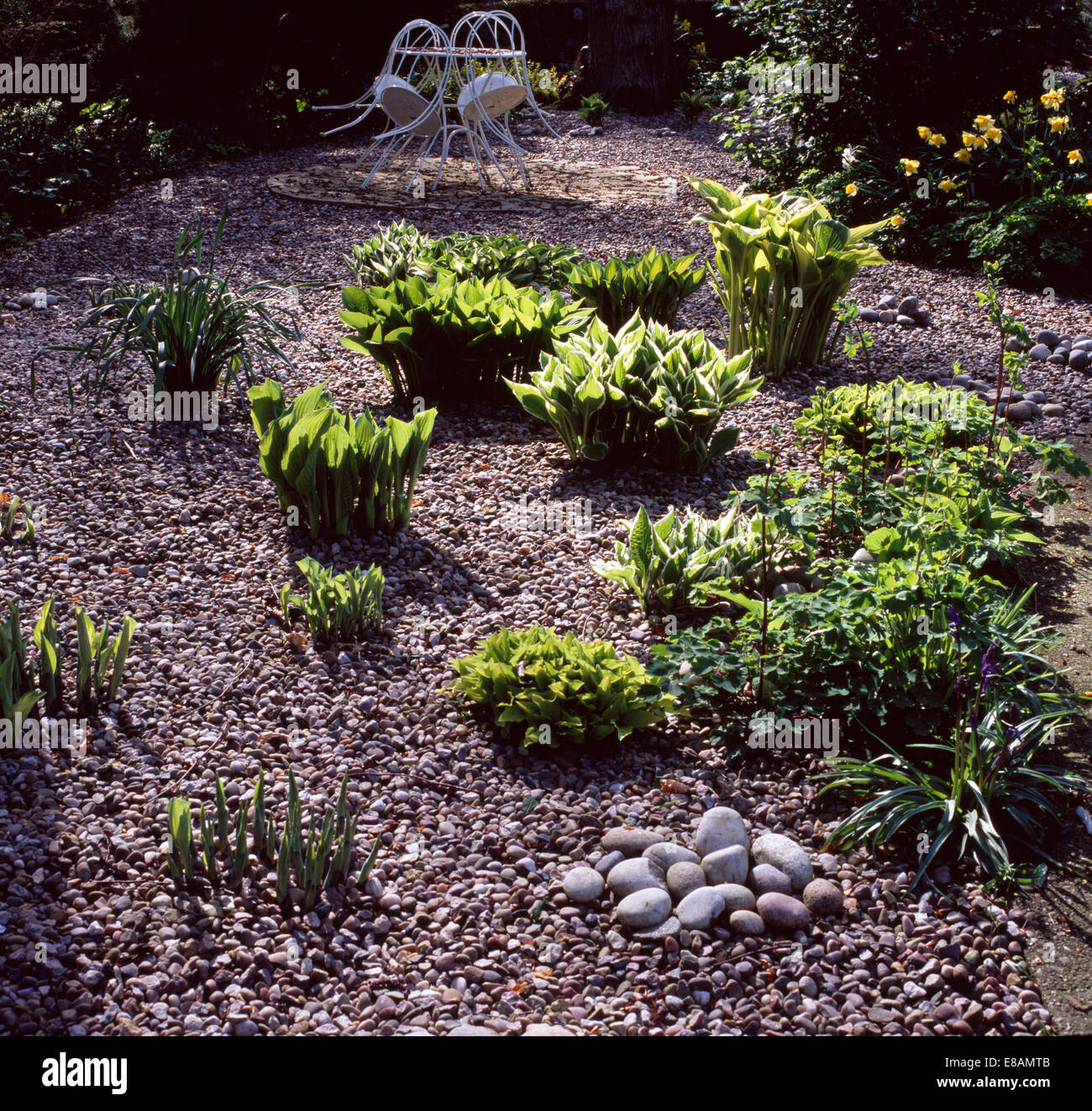 Smooth Round Pebbles On Pebble Patio With Newly Emerging Foliage Of Hostas  In Country Garden