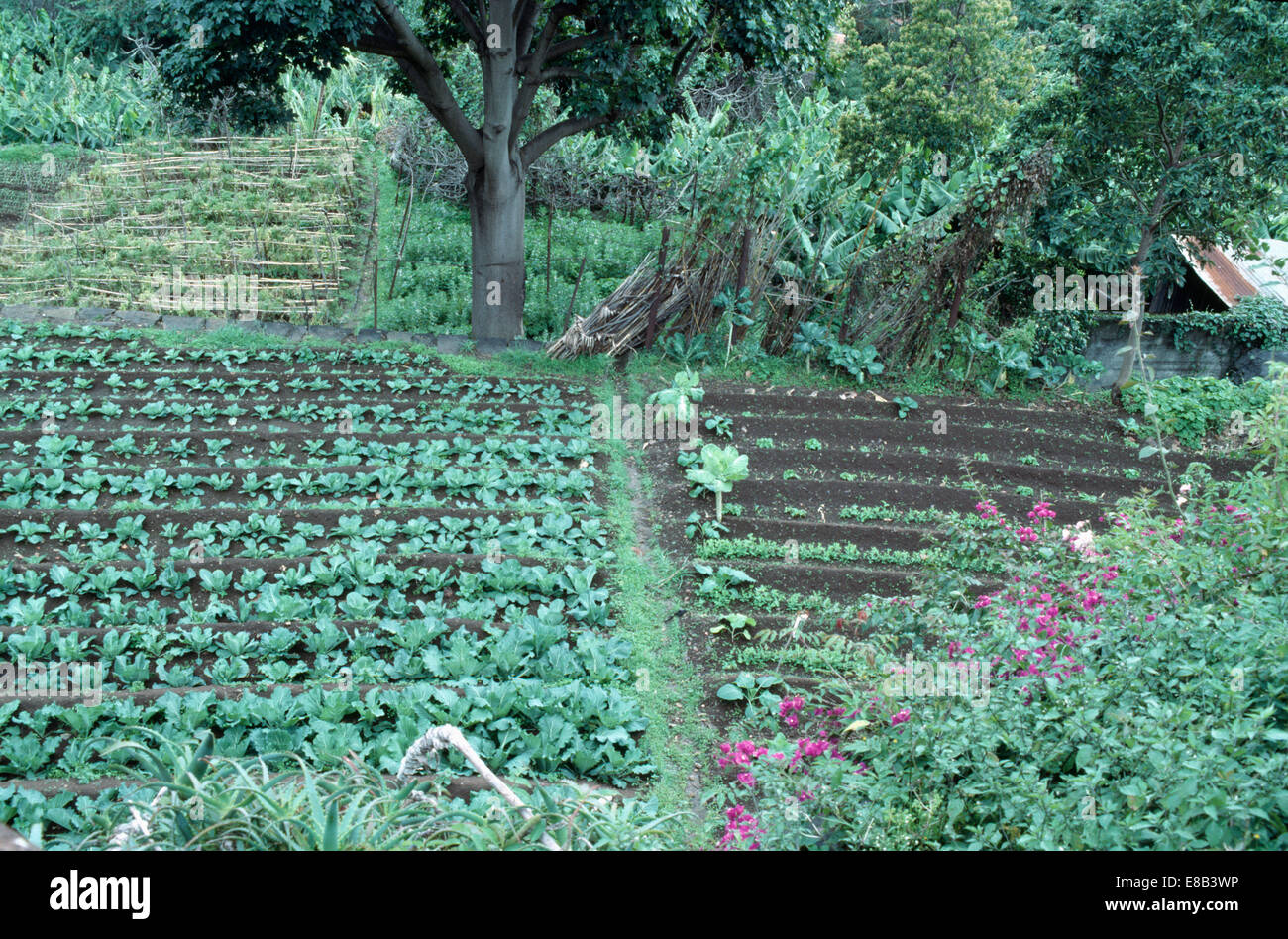 Country vegetable gardens - Cabbages And Vegetables Growing In Neat Rows In Large Country Vegetable Garden