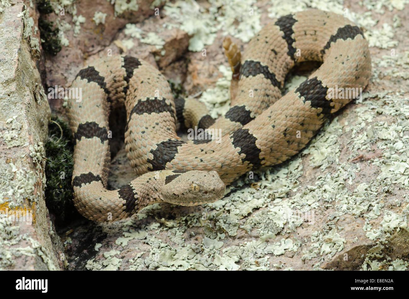 New mexico socorro county magdalena - Male Banded Rock Rattlesnake Crotalus Lepidus Klauberi Magdalena Mountains Socorro Co New Mexico Usa