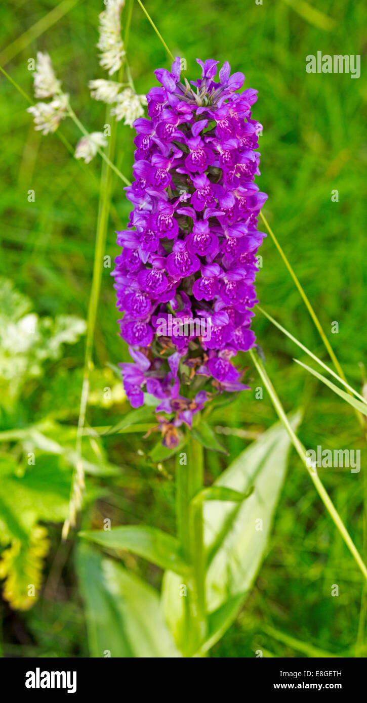 spike of bright purple flowers of marsh orchid, dactylorhiza, Beautiful flower
