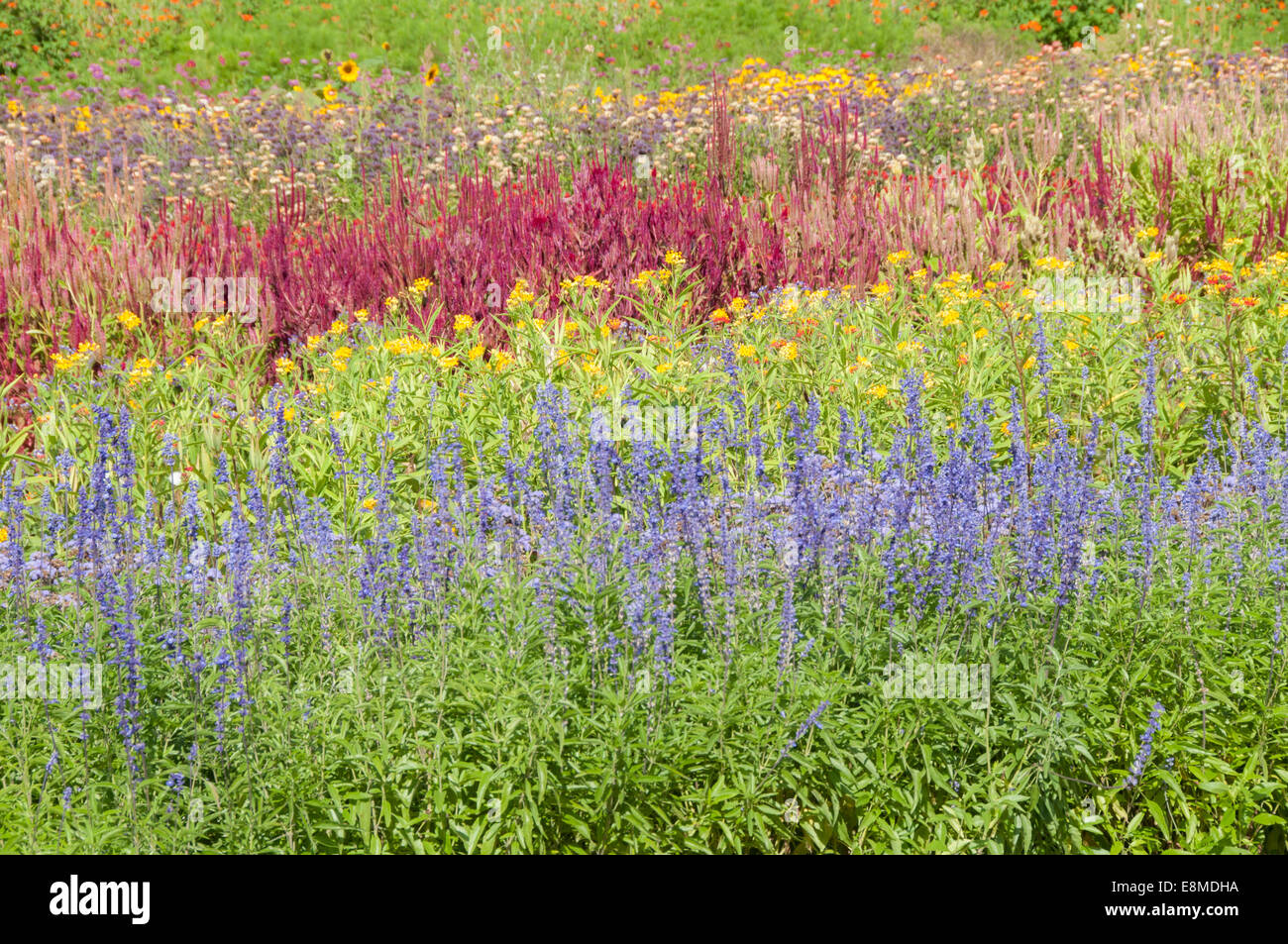 colorful fields of flowers yellow purple red on a new england farm isolated to show field of colorflowers - Fields Of Color