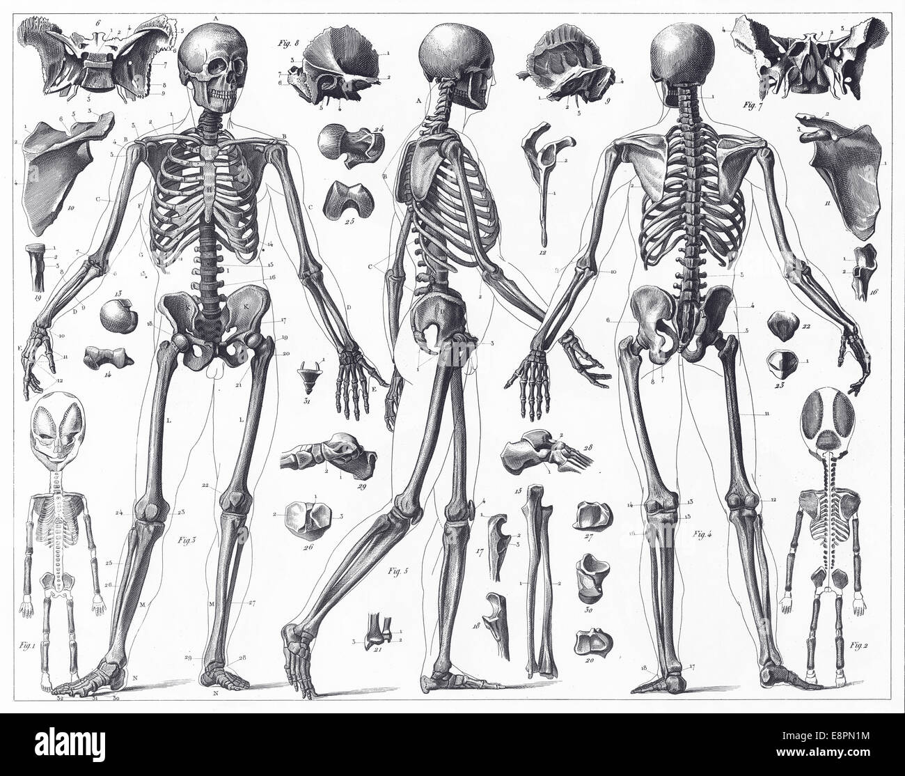 engraved illustrations of anatomy of the bones from iconographic, Skeleton