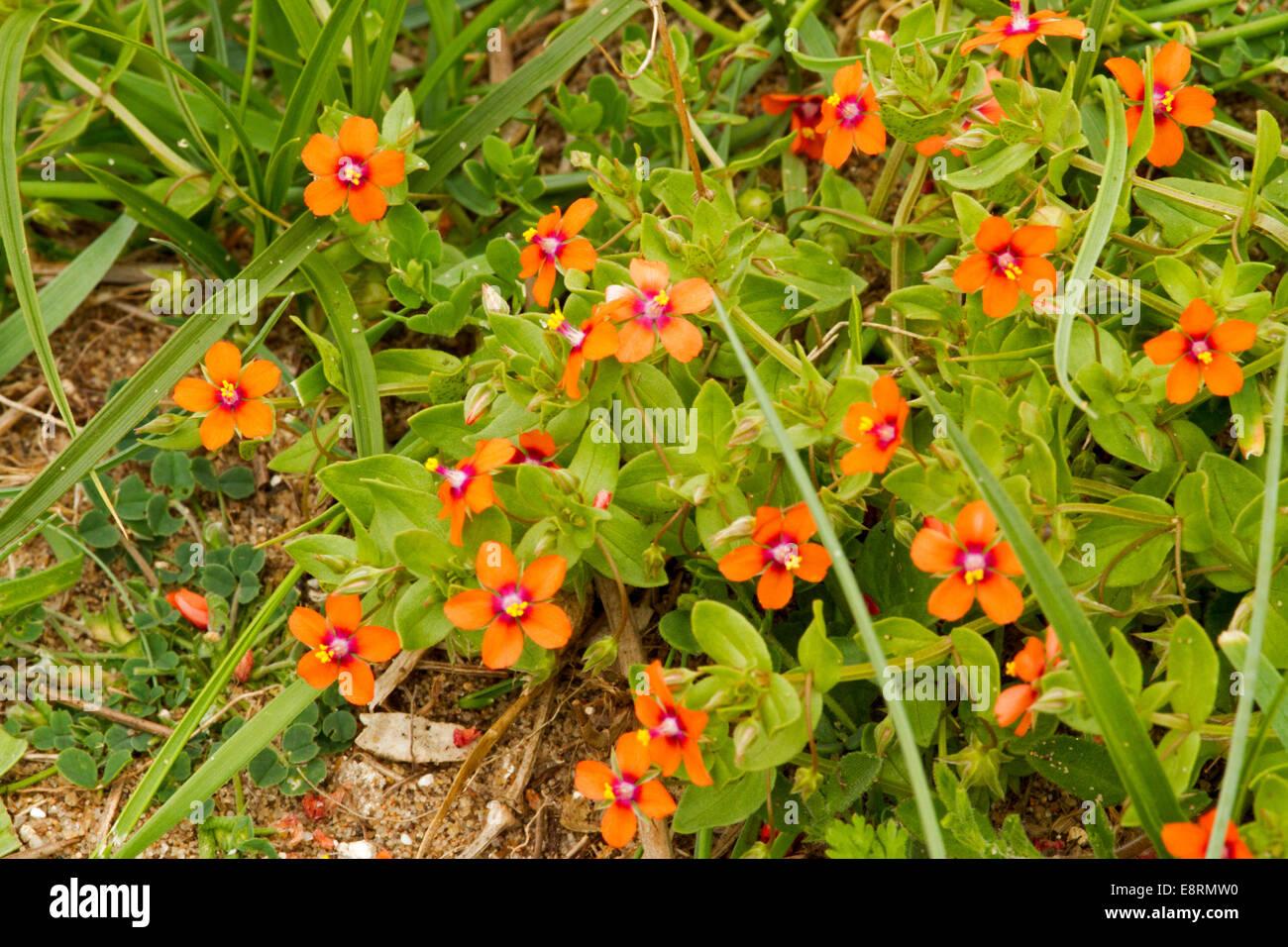 British Wildflowers Cluster Of Tiny Bright Red Orange
