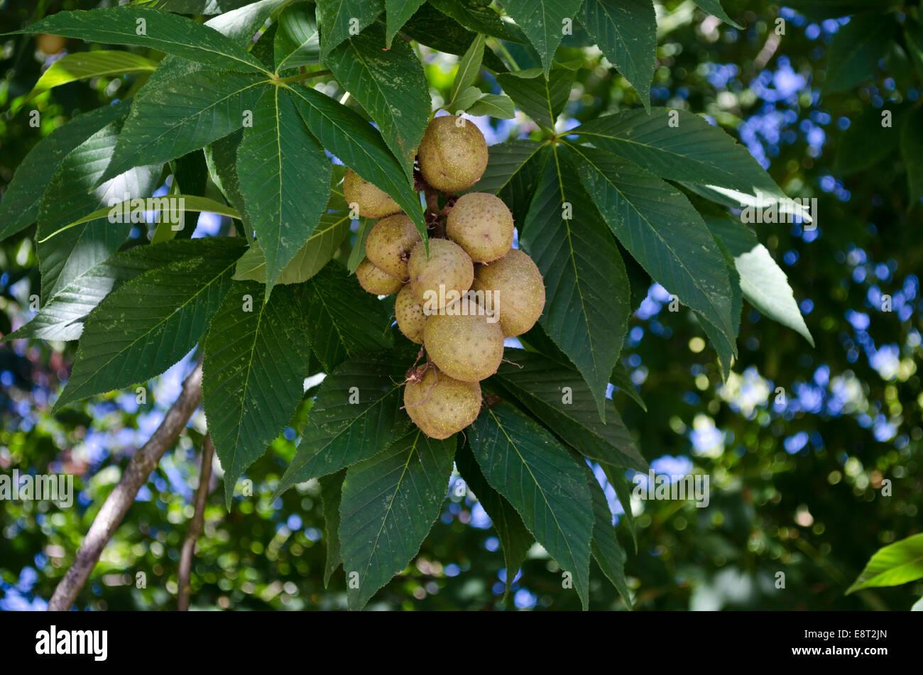 Aesculus Glabra Leaf