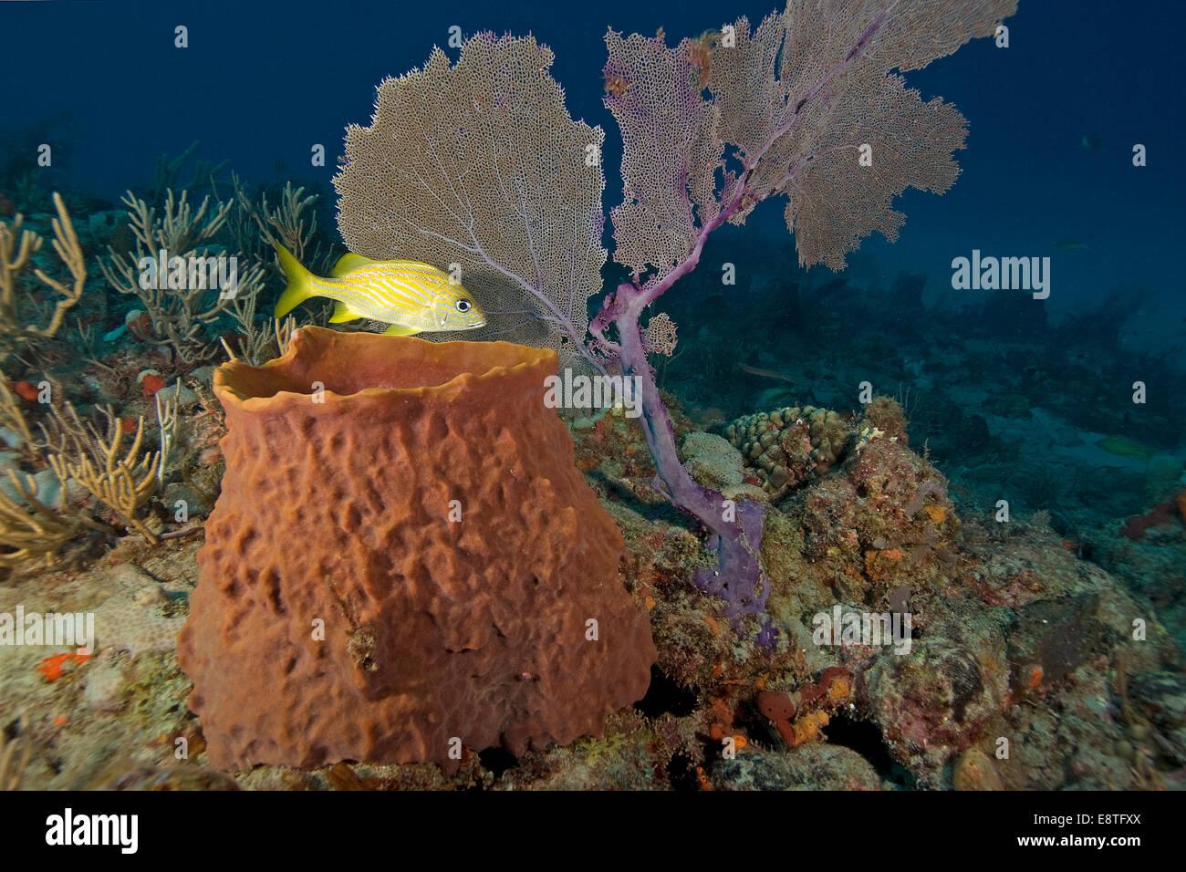 Grunt tropical fish and sea sponge at florida keys coral for Florida tropical fish