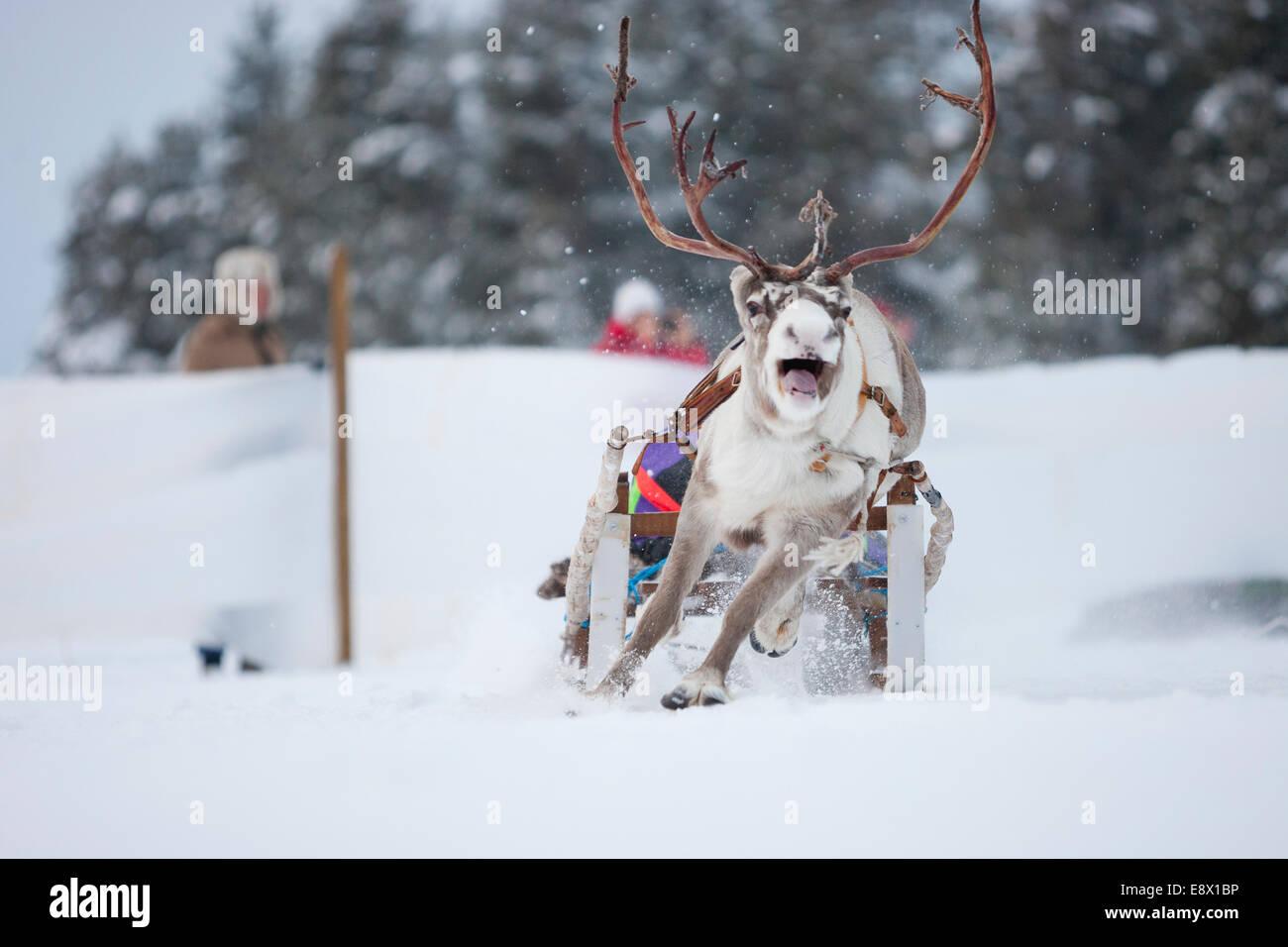 JOKKMOKK SWEDEN Reindeer Racing At The Annual Jokkmokk Winter - Jokkmokk sweden map