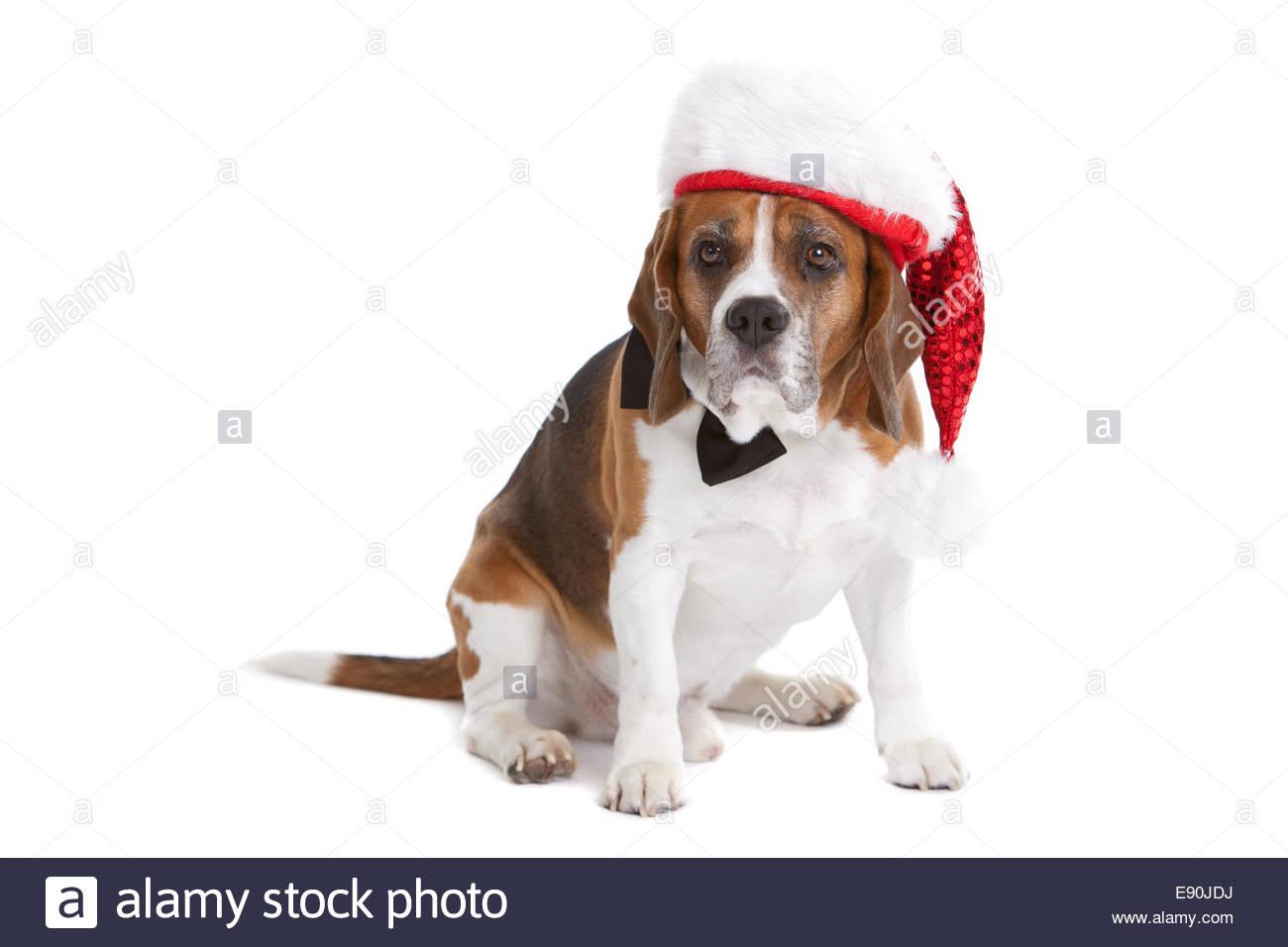 Cute beagle in christmas spirit stock photo royalty free image cute beagle in christmas spirit voltagebd Gallery