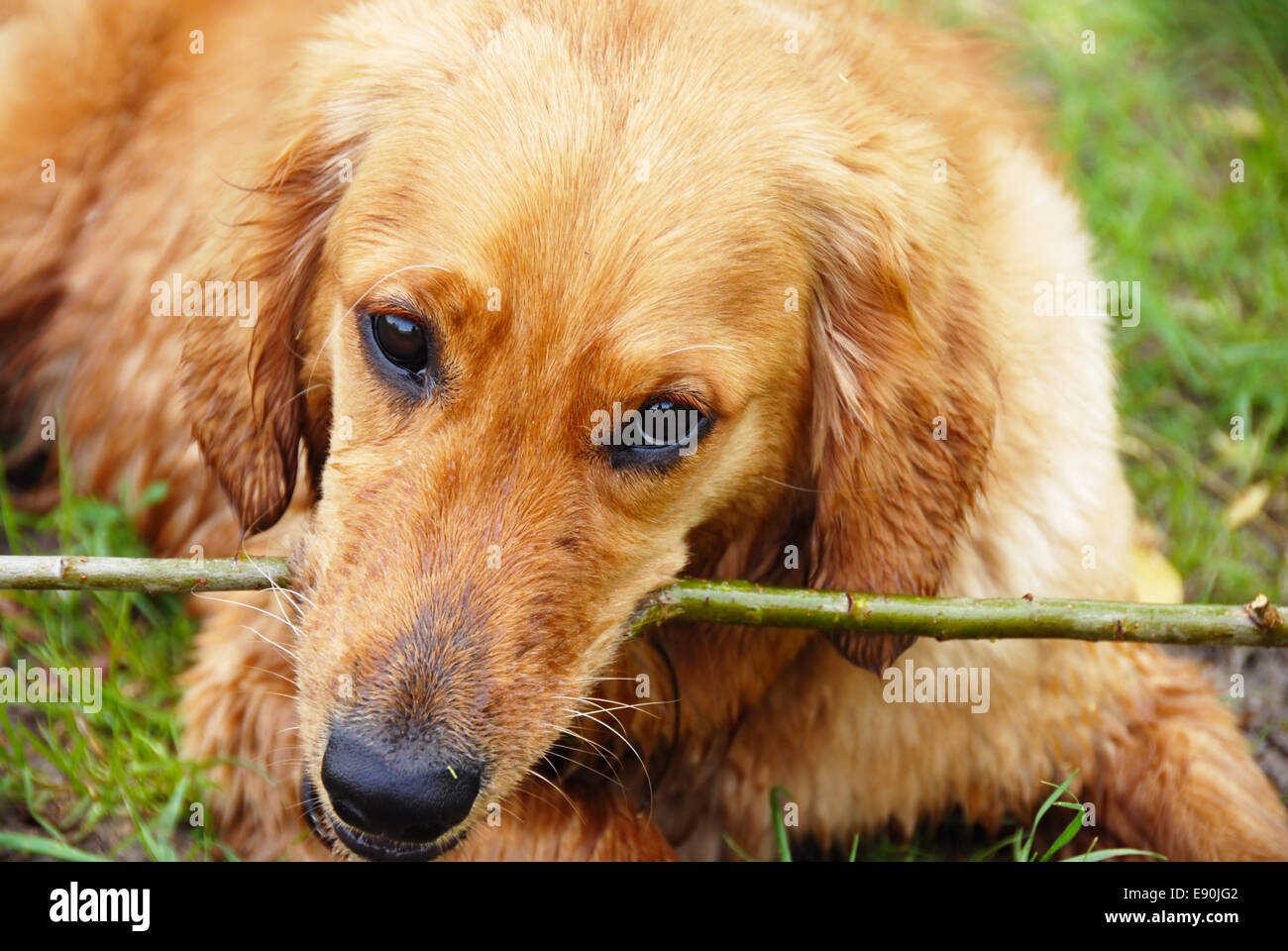 golden retriever dog portrait with stick stock photo royalty free image 74387938 alamy. Black Bedroom Furniture Sets. Home Design Ideas