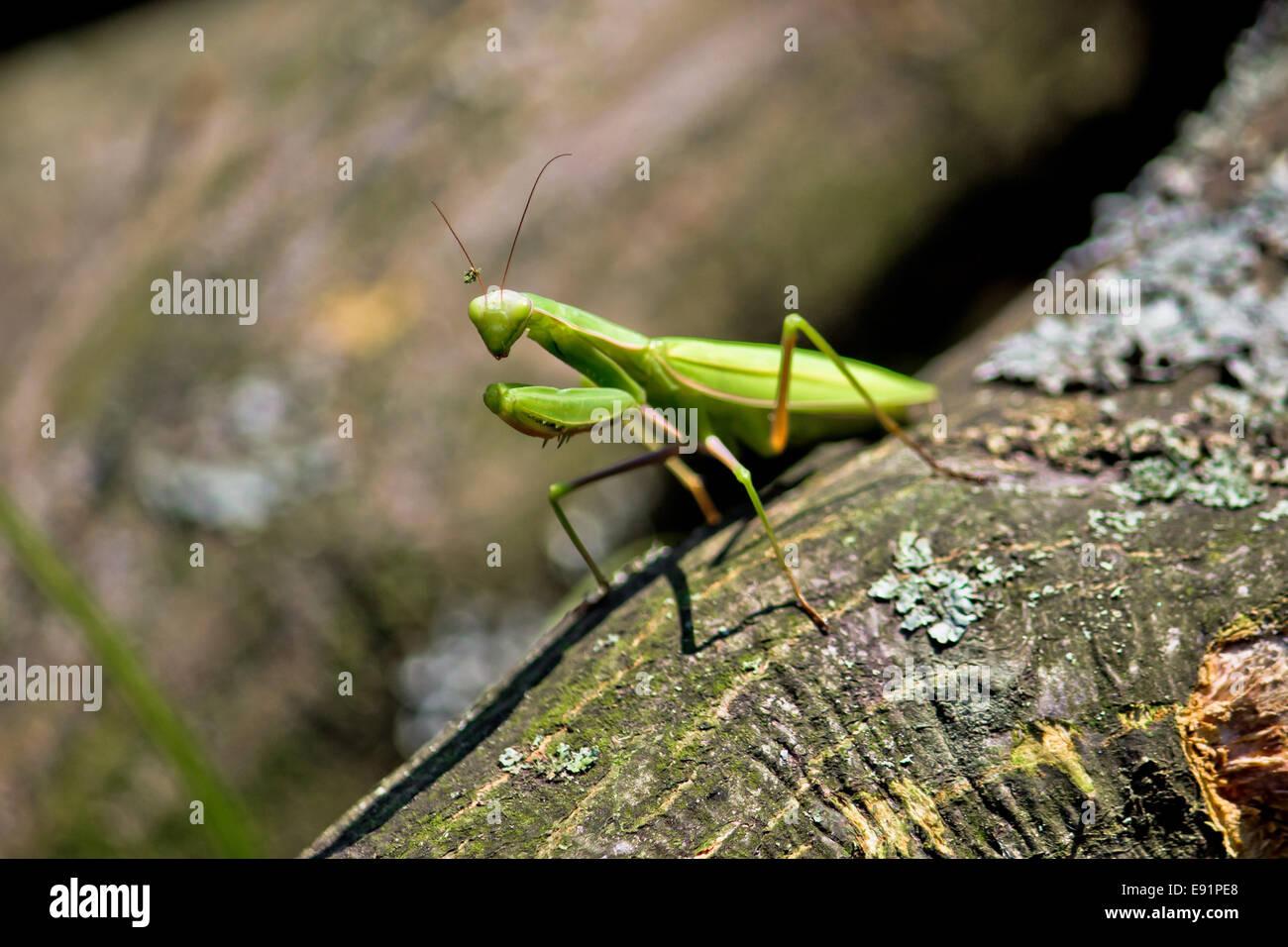 Praying Mantis in natural environment Stock Photo, Royalty Free ...