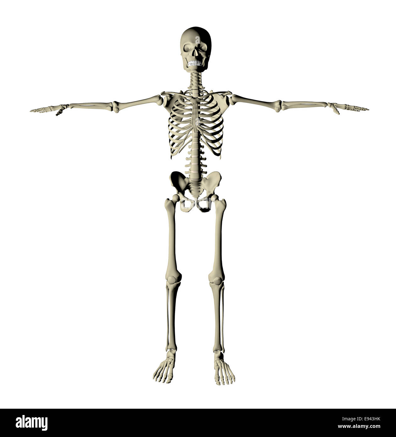 Skeleton and bones of a human body on a white background stock skeleton and bones of a human body on a white background ccuart Image collections