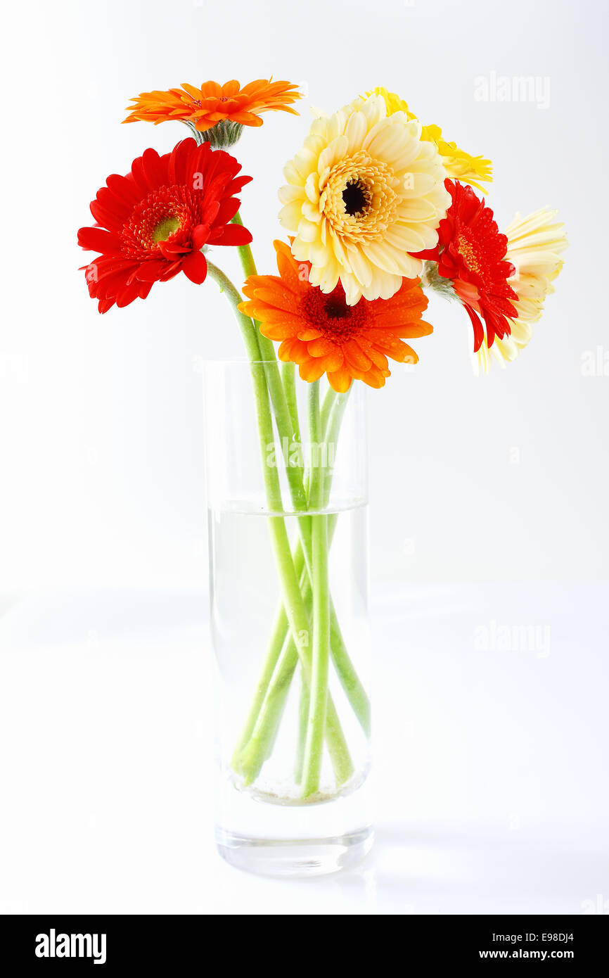 Arrangement of colourful gerbera daisies in a clear glass vase in arrangement of colourful gerbera daisies in a clear glass vase in shades of red yellow and orange on a white studio background reviewsmspy