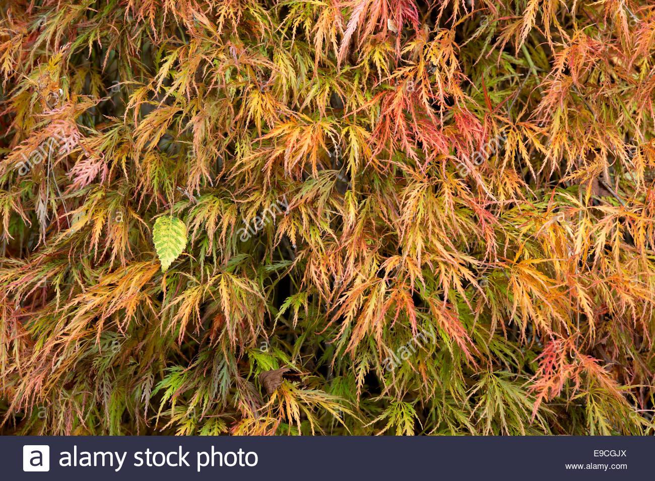 acer palmatum dissectum 39 ornatum 39 in autumn japanese. Black Bedroom Furniture Sets. Home Design Ideas