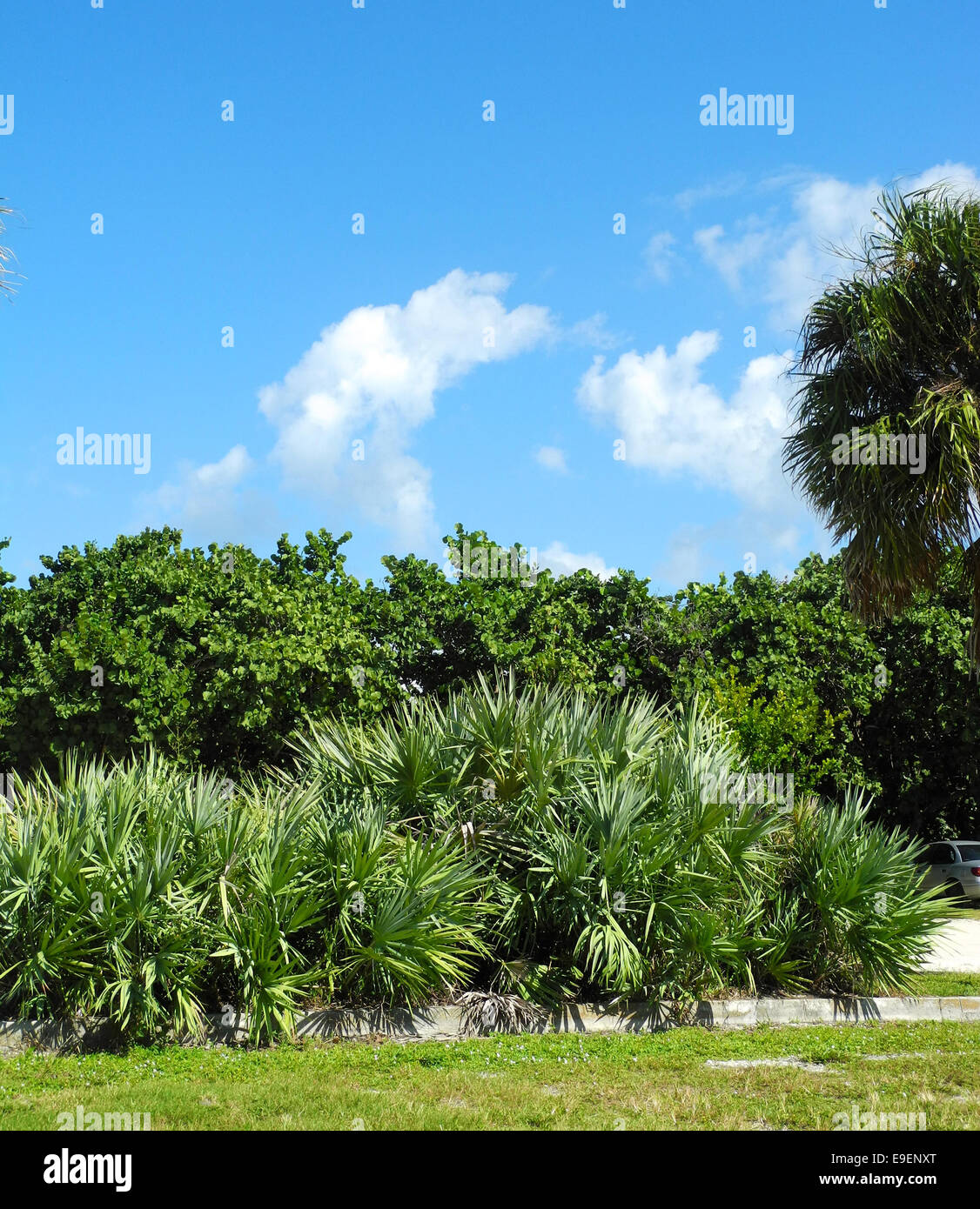 Florida tropical foliage saw palmetto trees palm trees for Typical landscaping plants