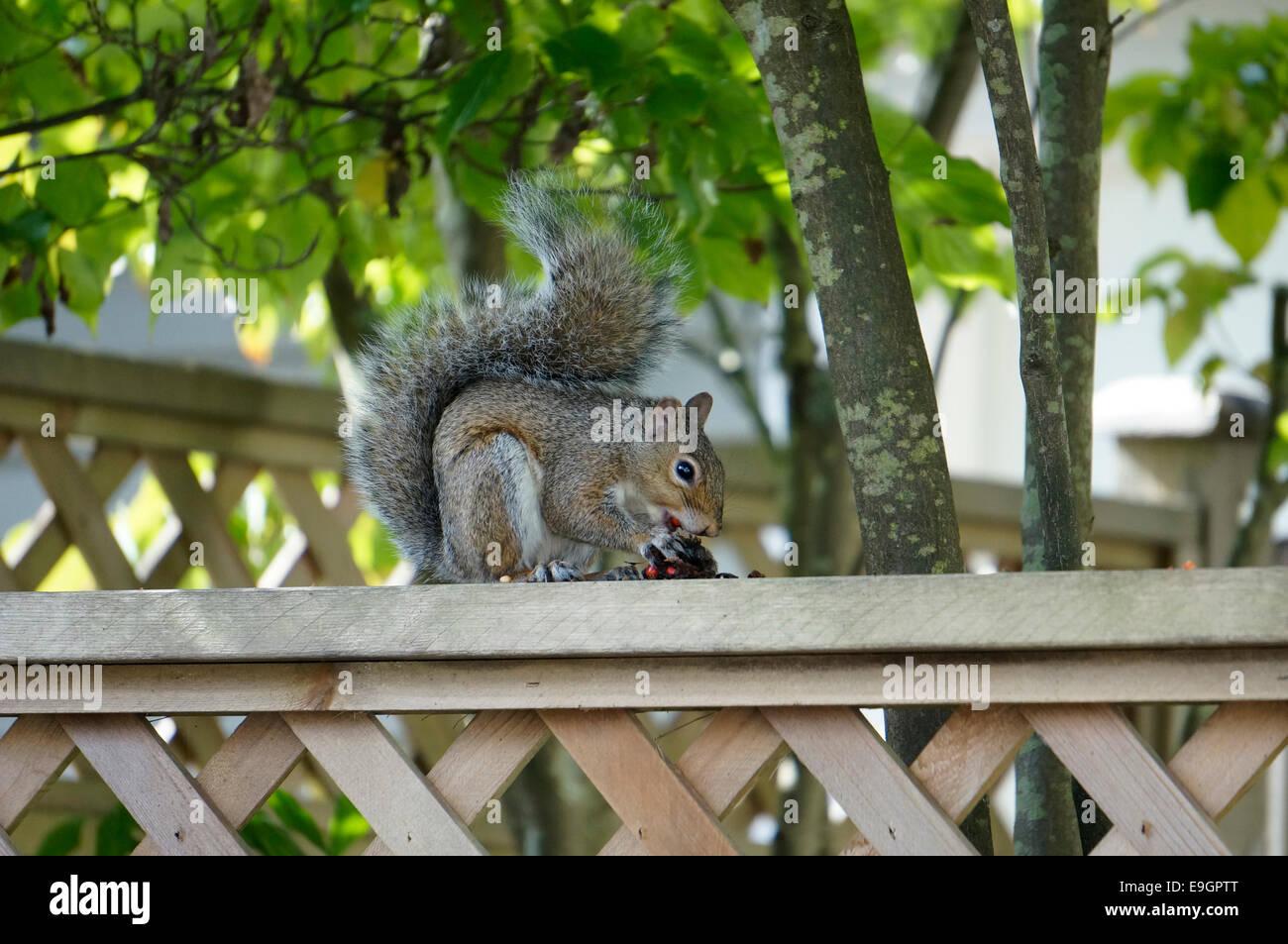western-gray-squirrel-sciurus-griseus-si
