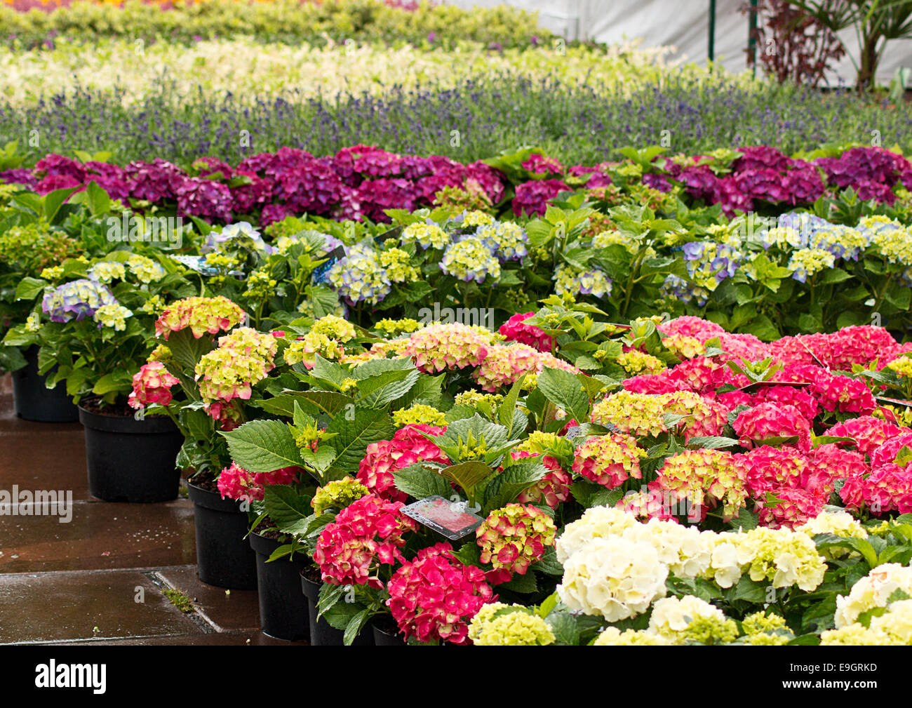 rows of flowers for sale at a retail garden center nursery or market stock photo royalty free