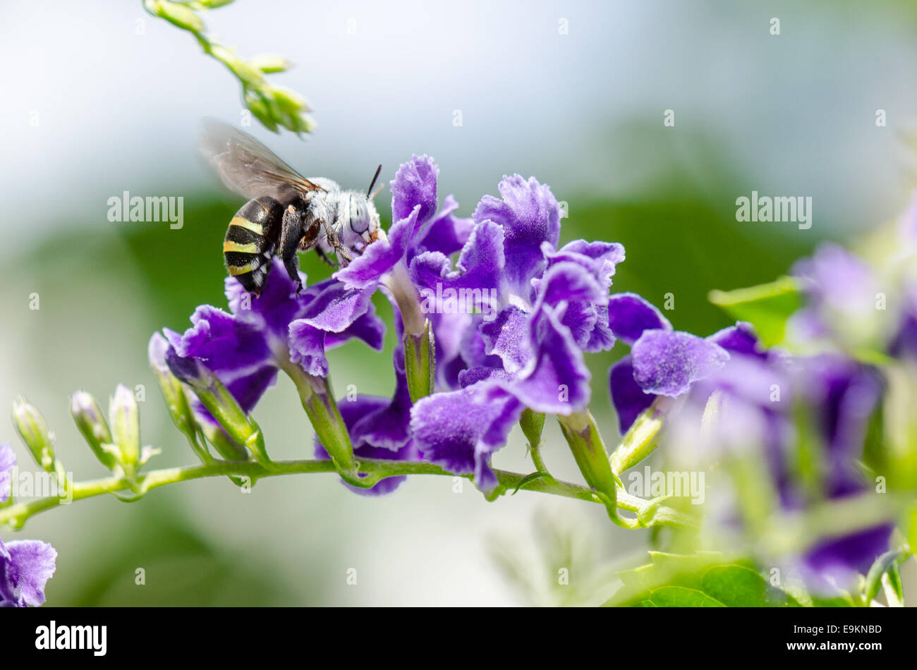 White Banded Digger Bee Amegilla Quadrifasciata Is A Species Of Bees Eating Nectar On Blue Flower Taken In Thailand