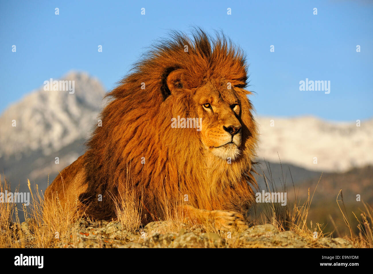 Lions in the Wild - Bing images