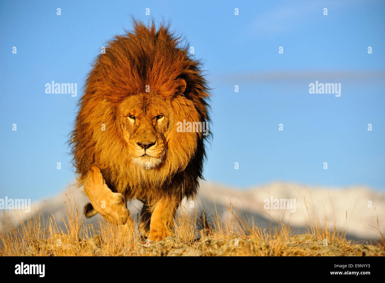 African lion (Panthera leo) Barbary lion extirpated in the ...
