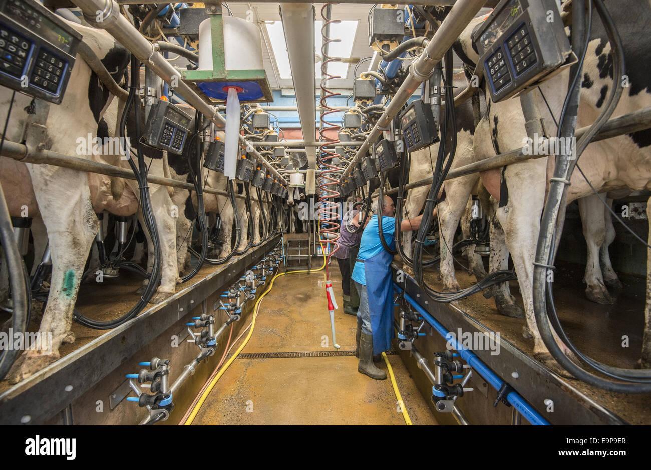 Dairy Farming  Holstein Cows Being Milked In Herringbone