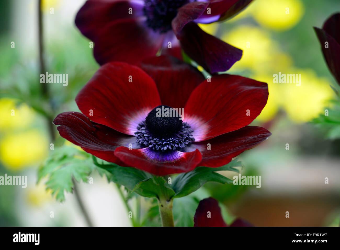 Anemone Coronaria Bordeaux Maroon Burgundy Dark Red Spring