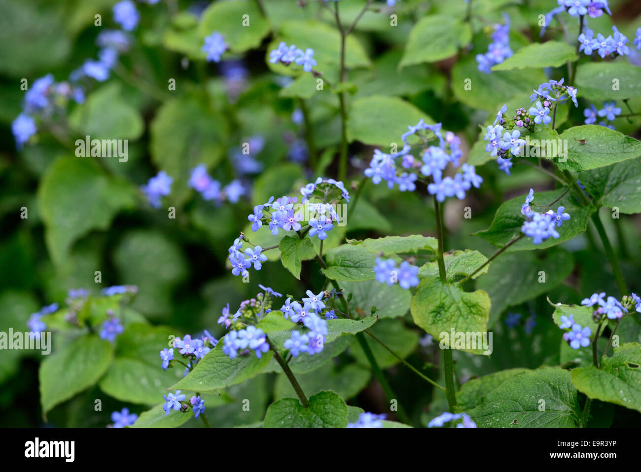Flowers that bloom in shade - Omphalodes Verna Blue Eyed Mary Flower Flowering Flowers Groundcover Shade Bloom Blooming Blooms Blossom Blossoms Rm Floral