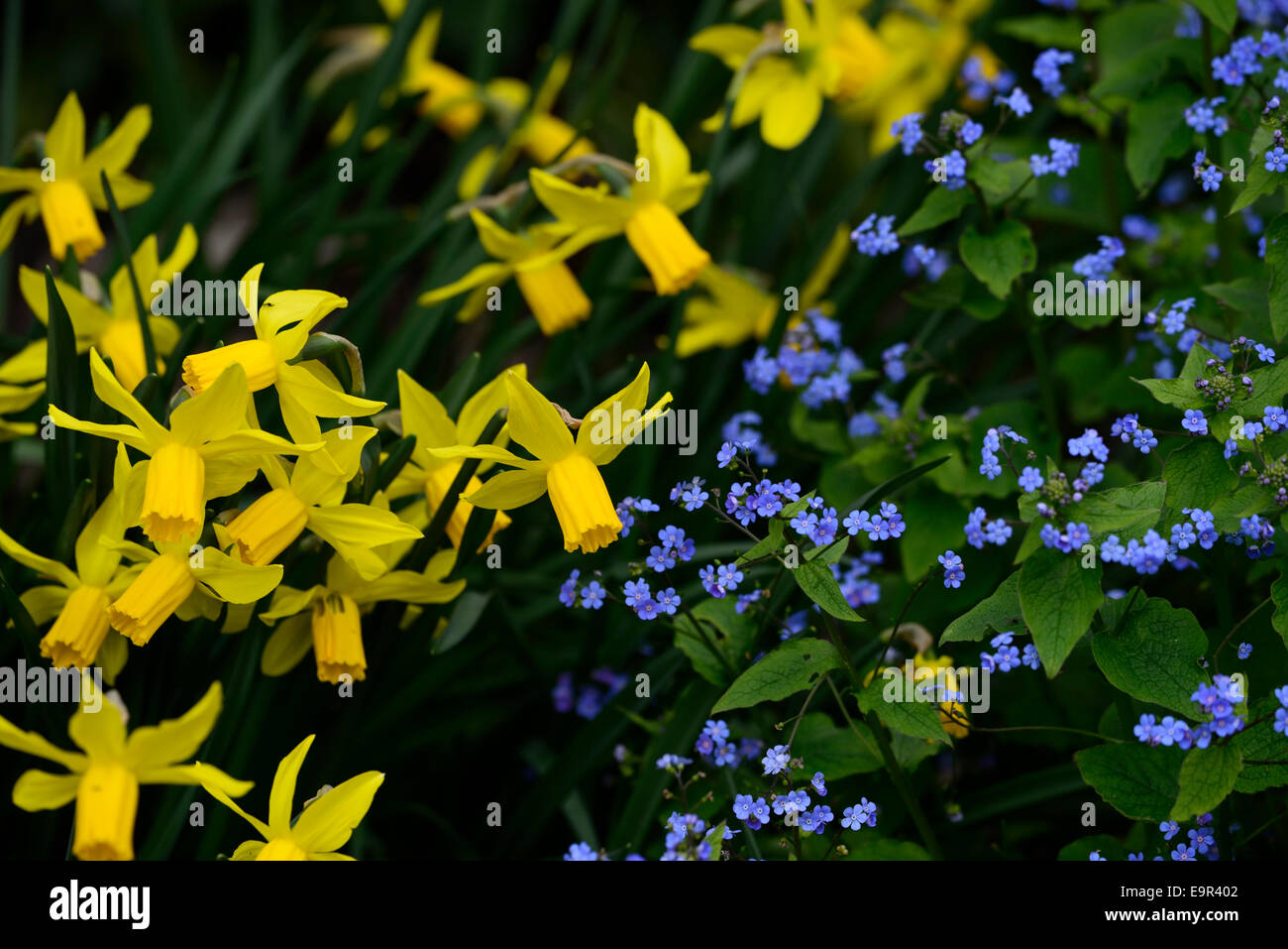 Omphalodes verna narcissus february gold yellow blue spring stock photo omphalodes verna narcissus february gold yellow blue spring flowers flower plant combination planting partners rm floral dhlflorist Choice Image